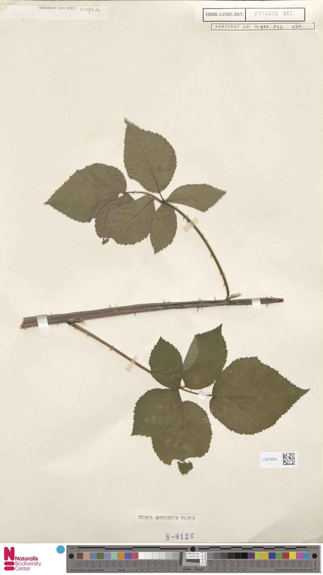 L.3273034 | Rubus ammobius Focke