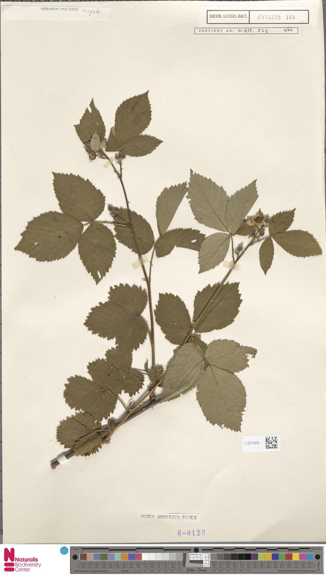 L.3273035 | Rubus ammobius Focke