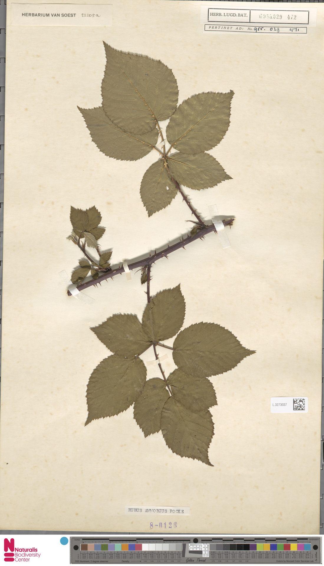 L.3273037 | Rubus ammobius Focke