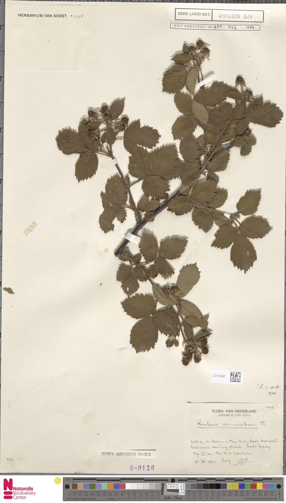 L.3273038 | Rubus ammobius Focke