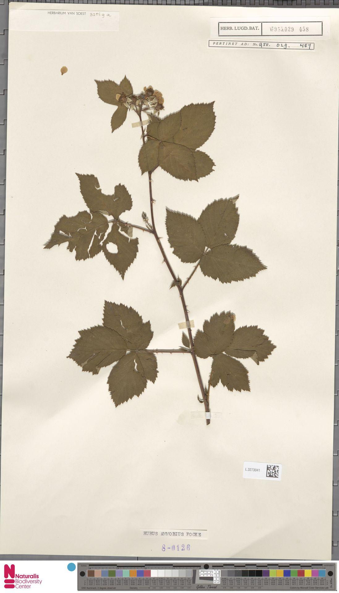 L.3273041 | Rubus ammobius Focke