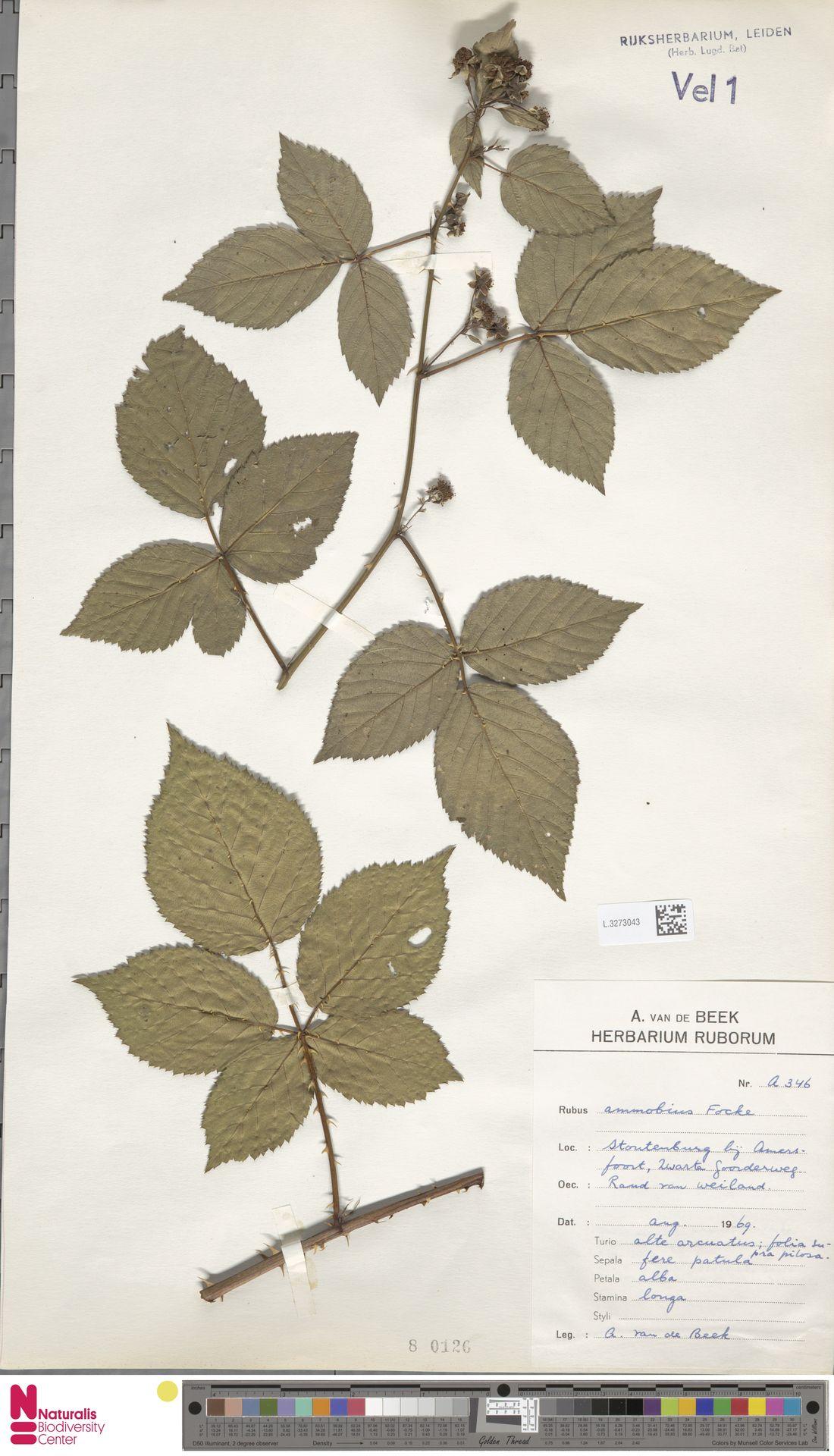 L.3273043 | Rubus ammobius Focke