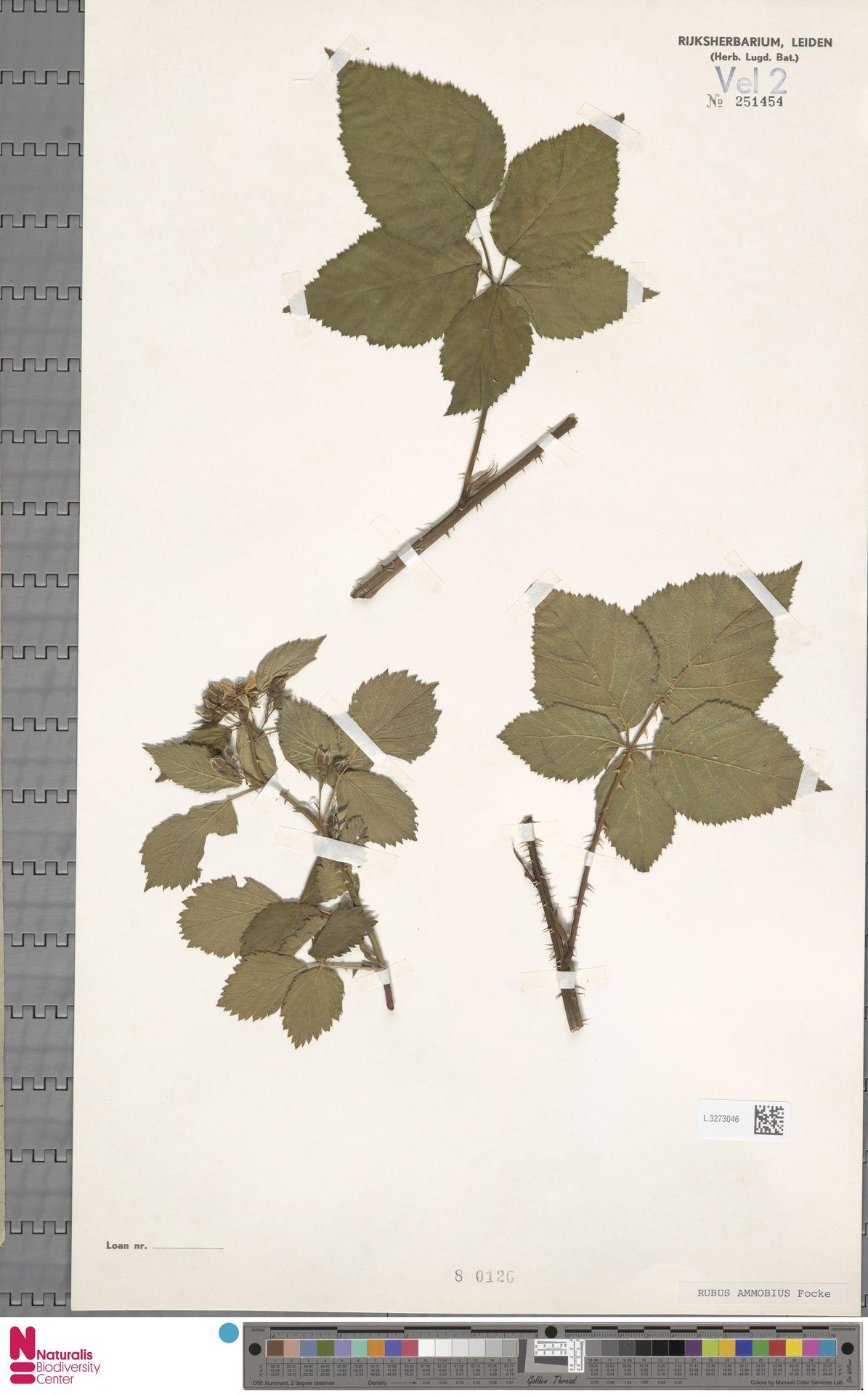 L.3273046   Rubus ammobius Focke