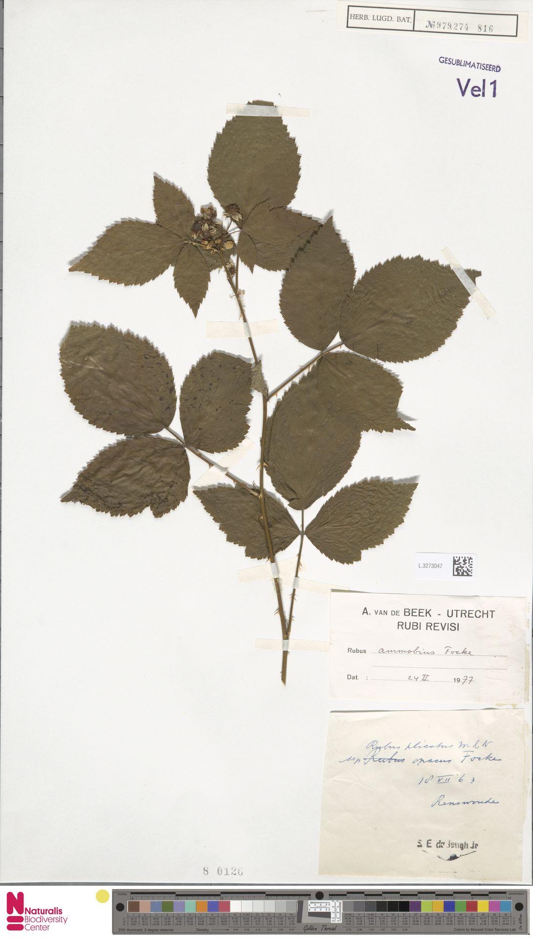 L.3273047 | Rubus ammobius Focke