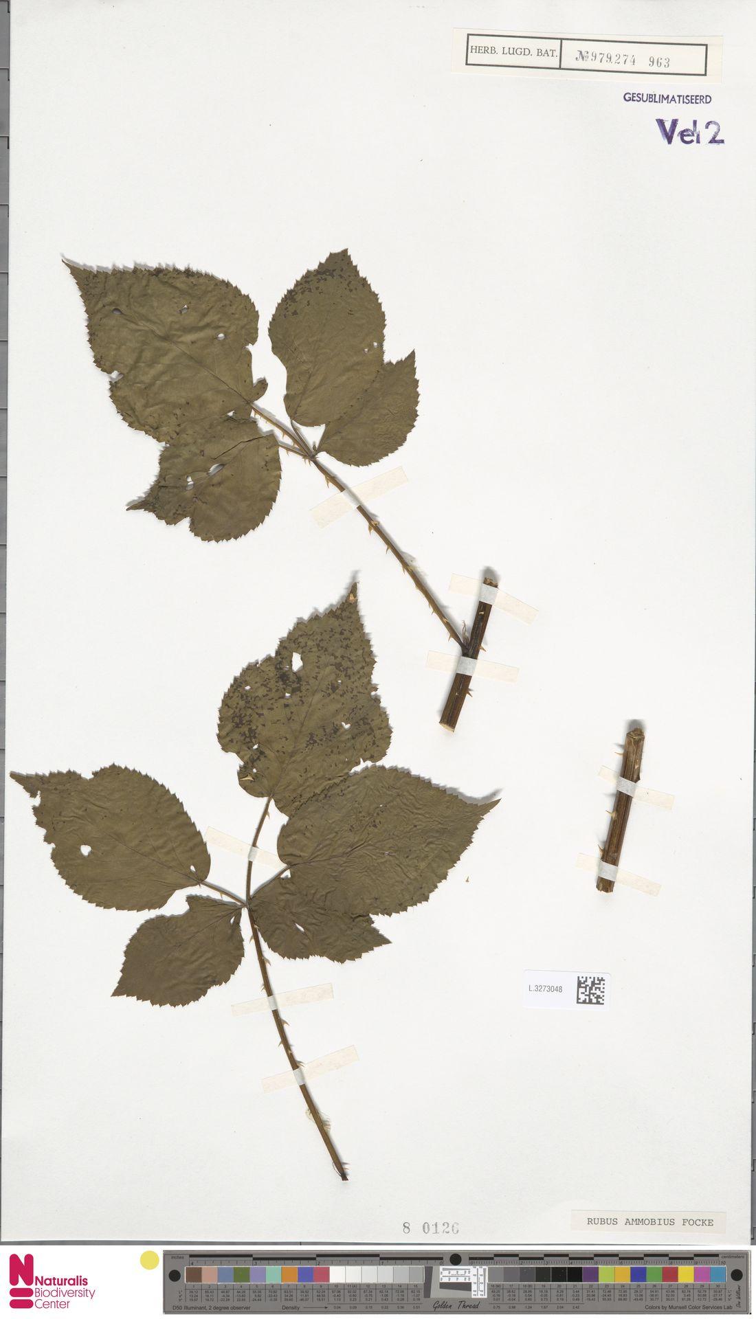 L.3273048 | Rubus ammobius Focke