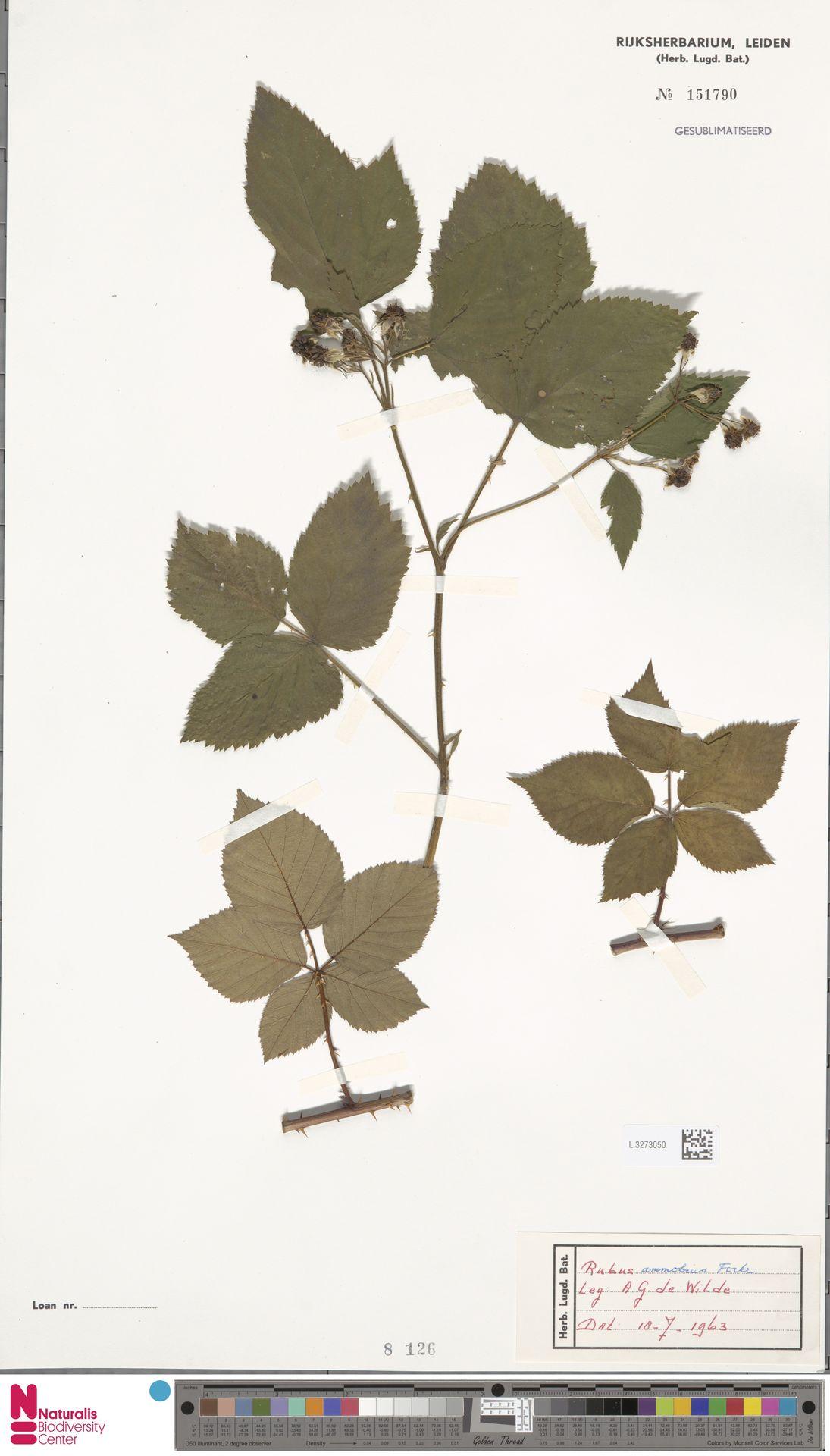 L.3273050 | Rubus ammobius Focke