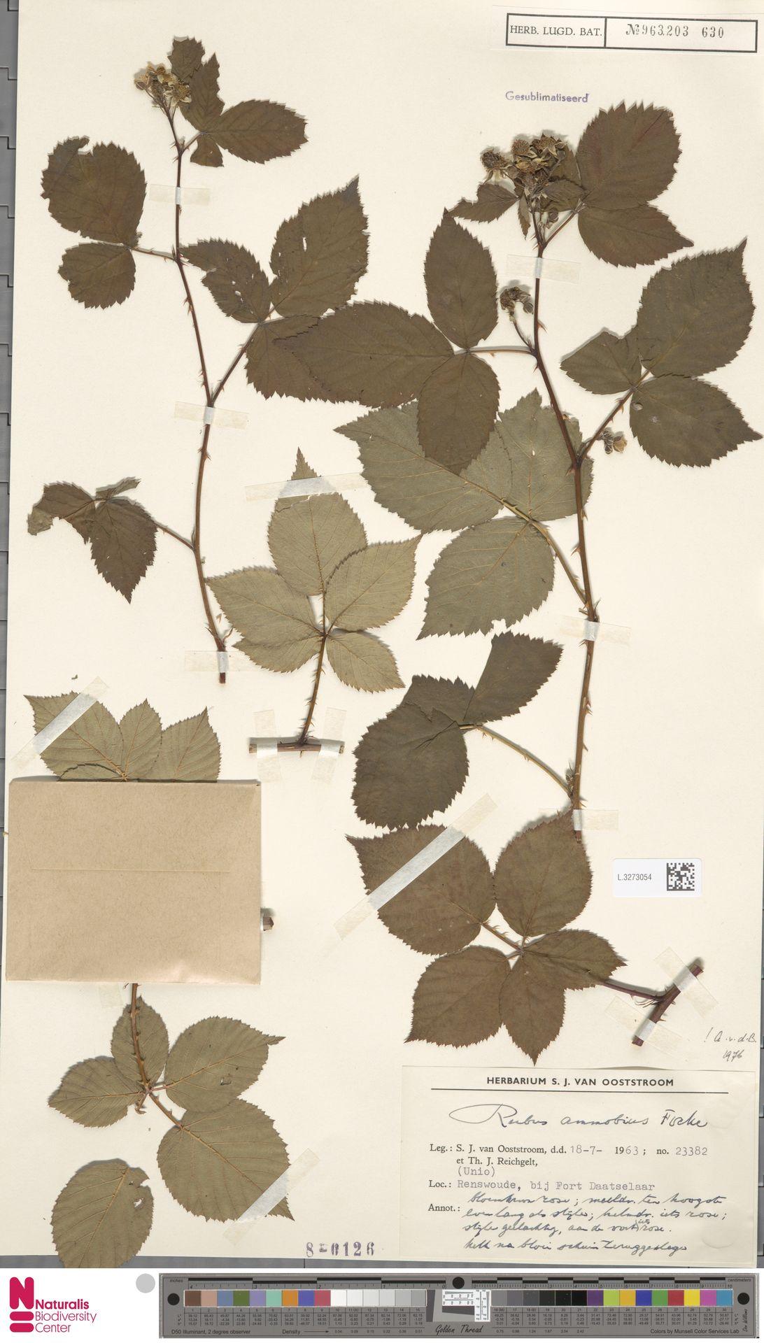 L.3273054   Rubus ammobius Focke