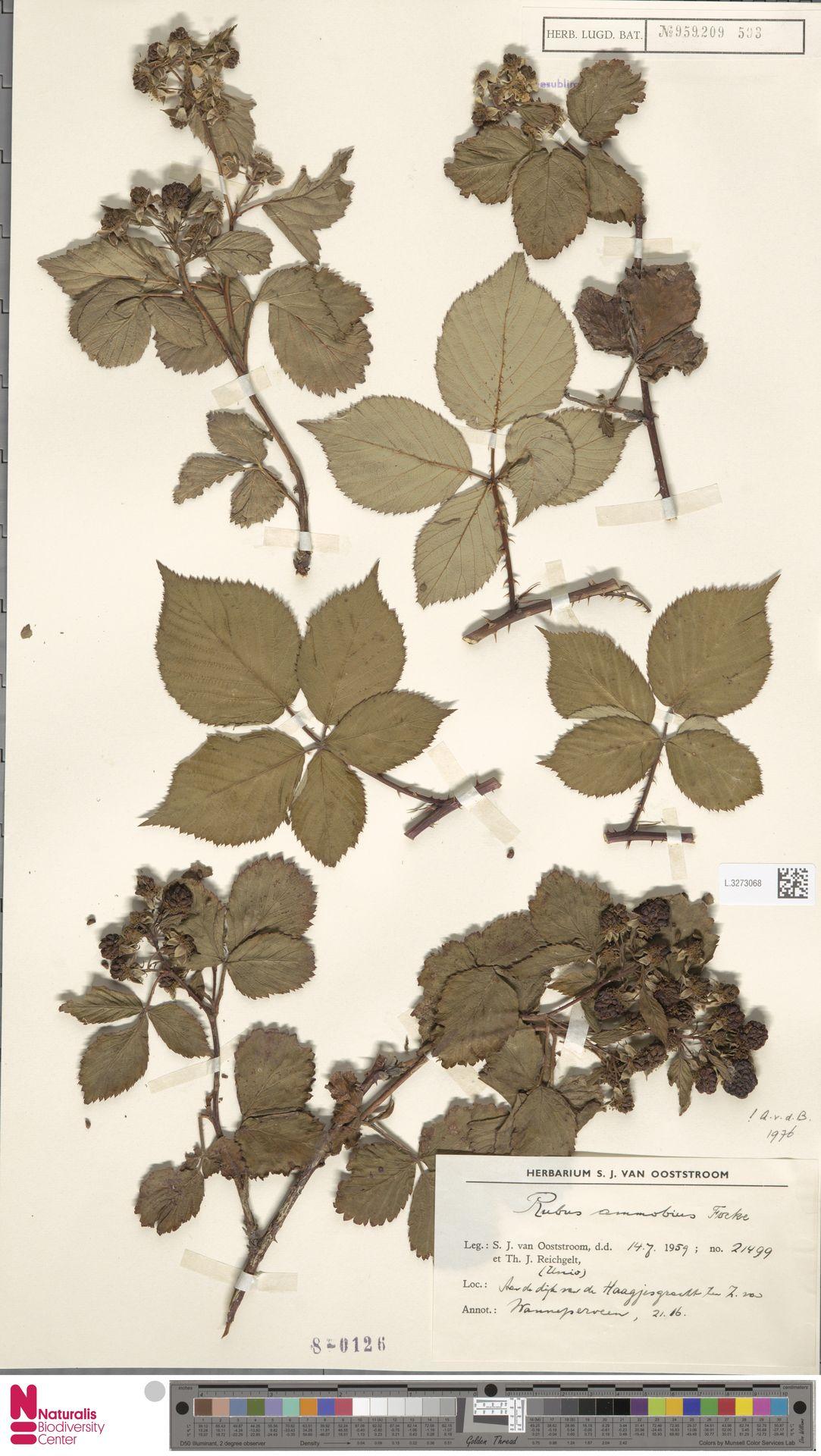 L.3273068 | Rubus ammobius Focke