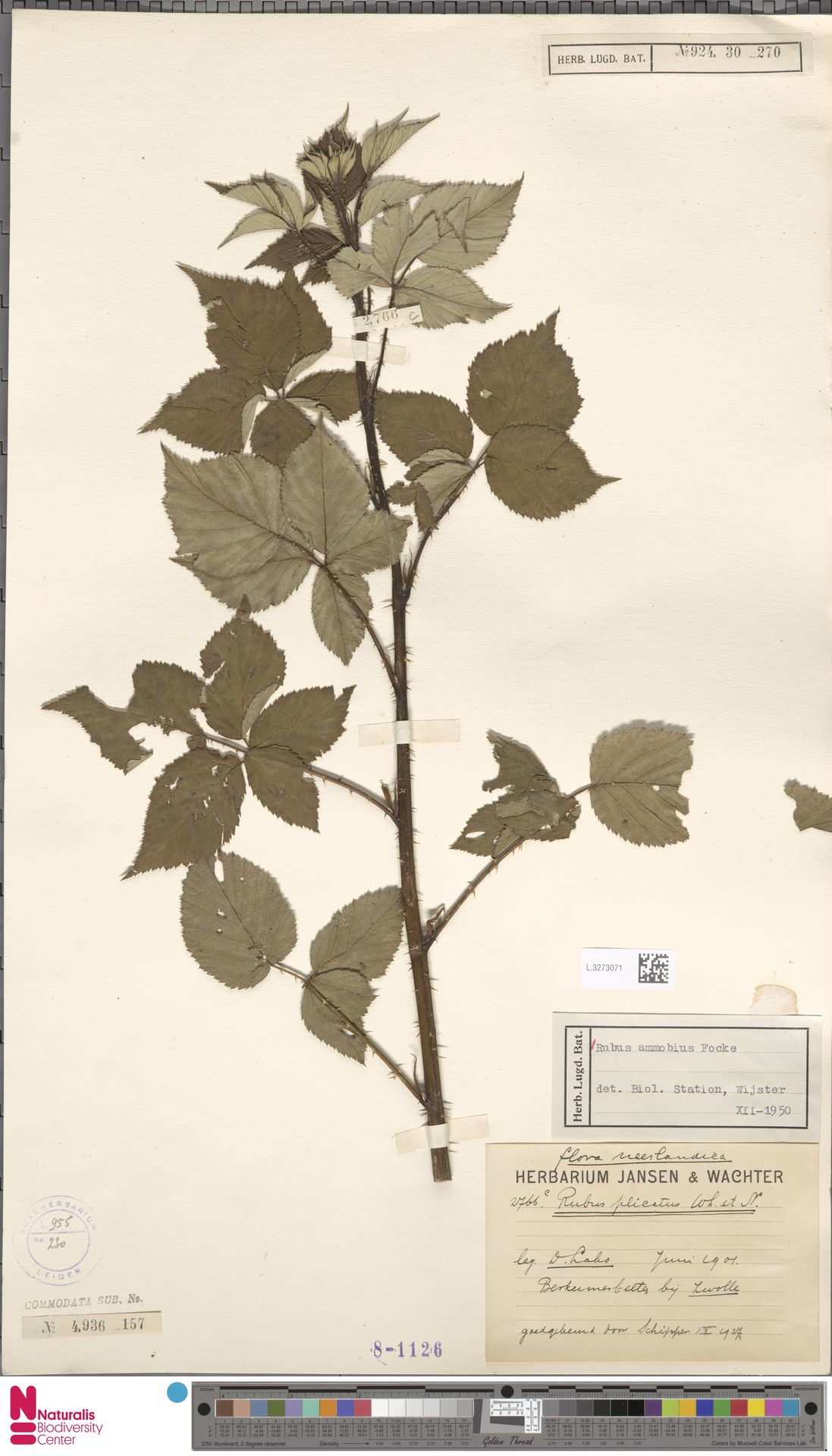 L.3273071   Rubus ammobius Focke