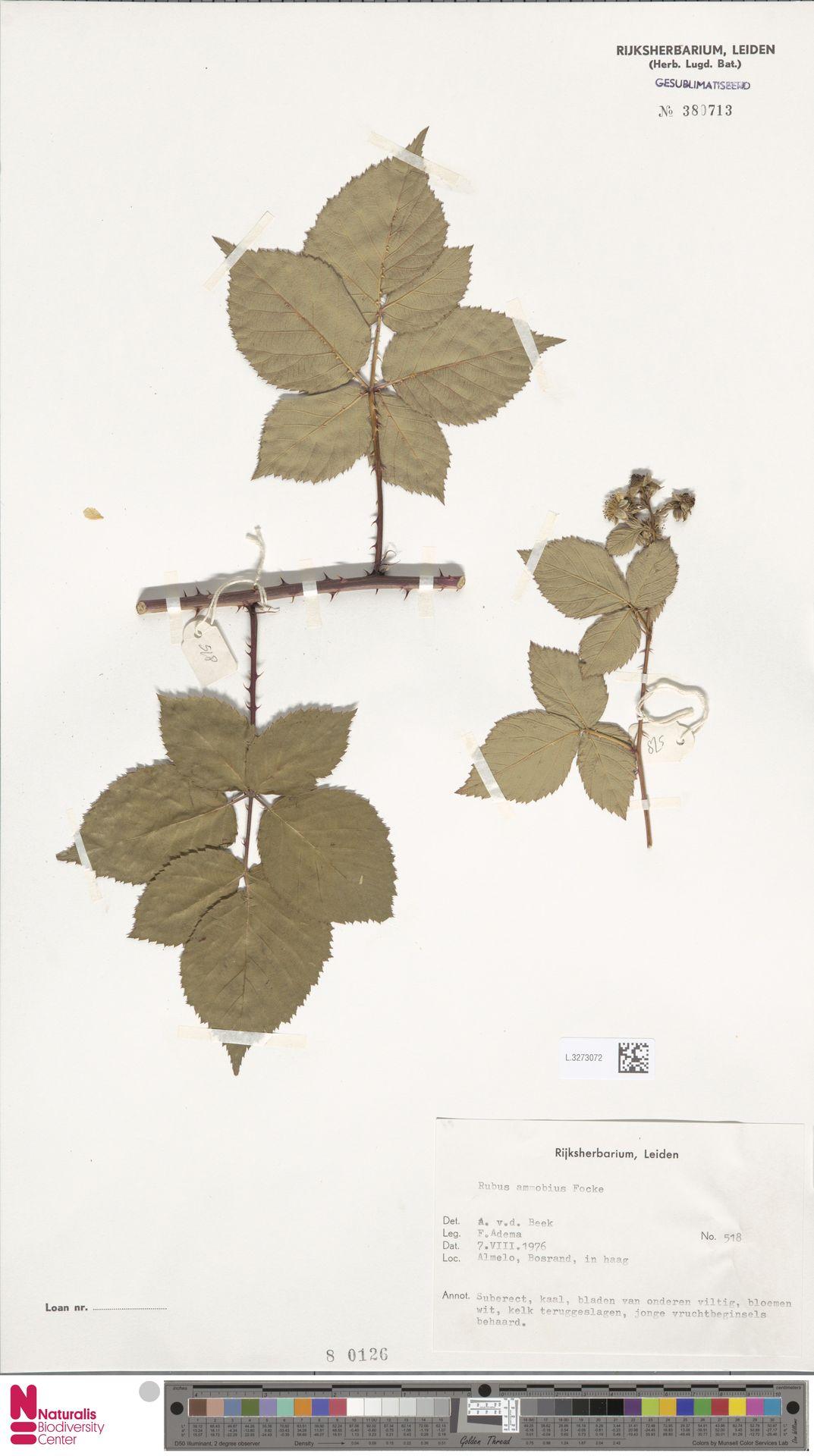 L.3273072   Rubus ammobius Focke