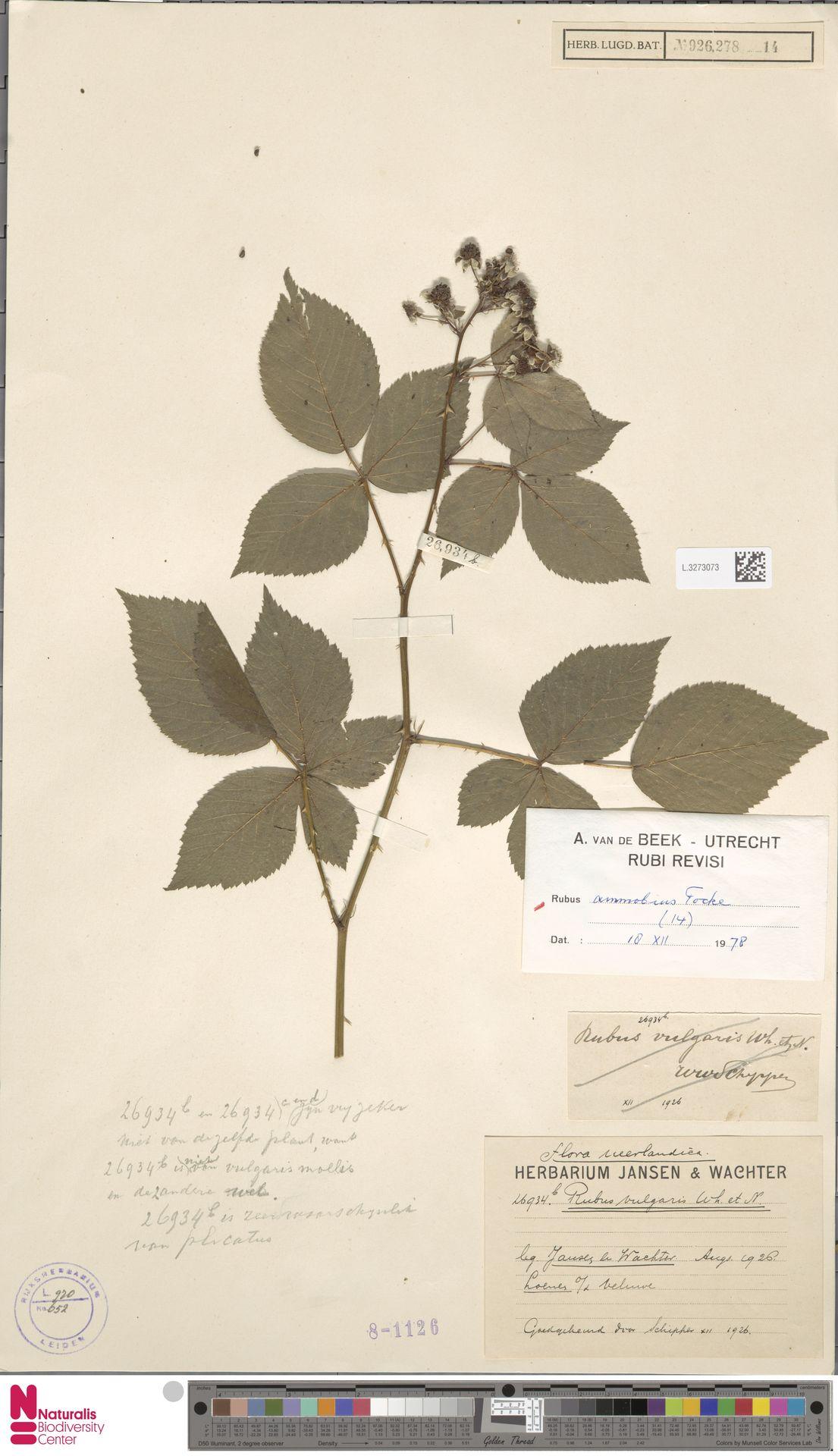 L.3273073   Rubus ammobius Focke