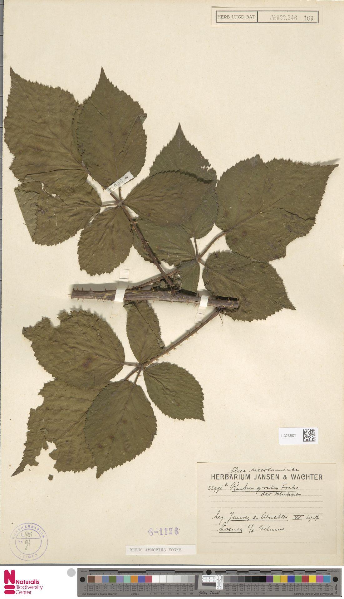 L.3273074 | Rubus ammobius Focke