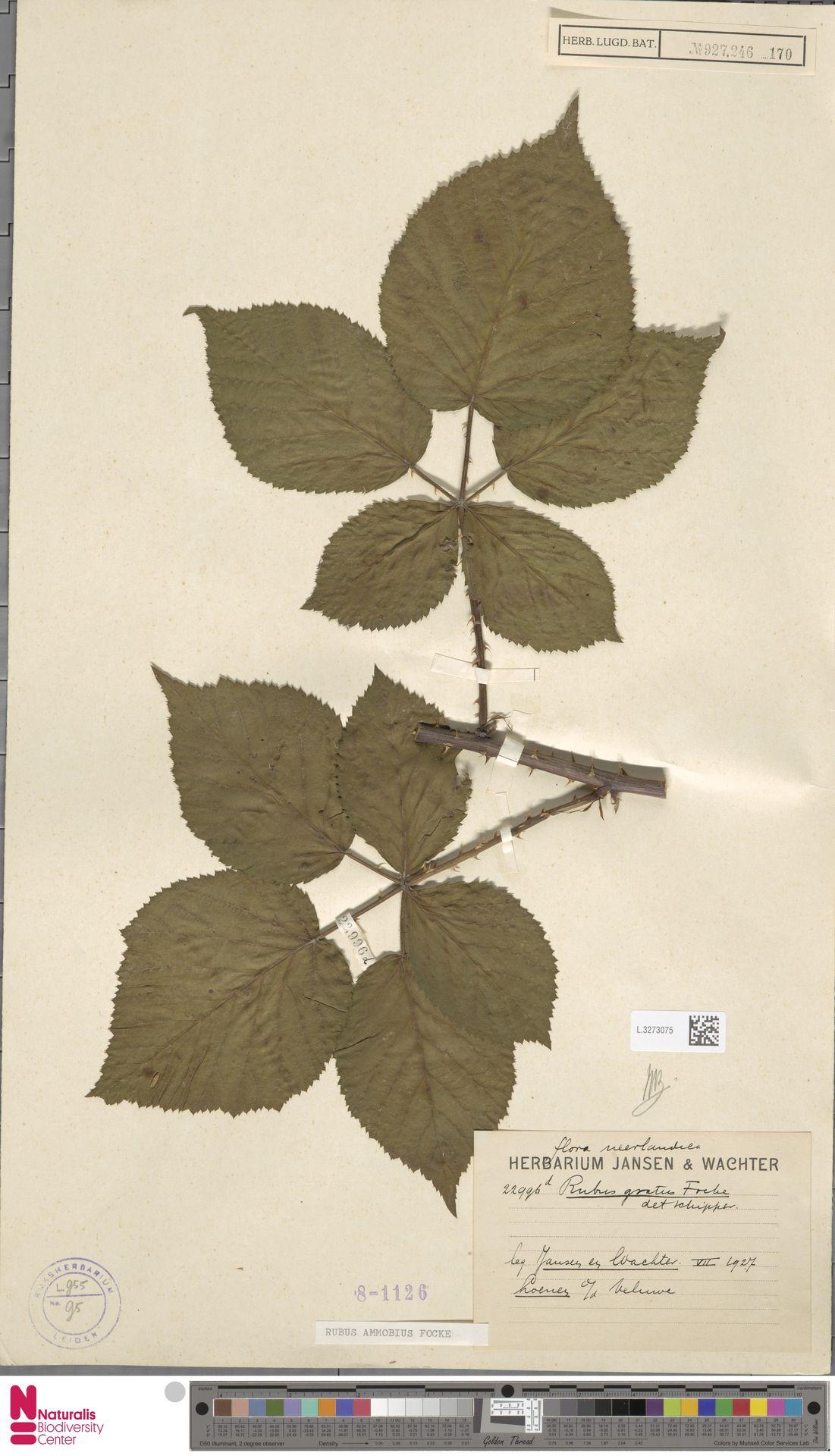 L.3273075 | Rubus ammobius Focke