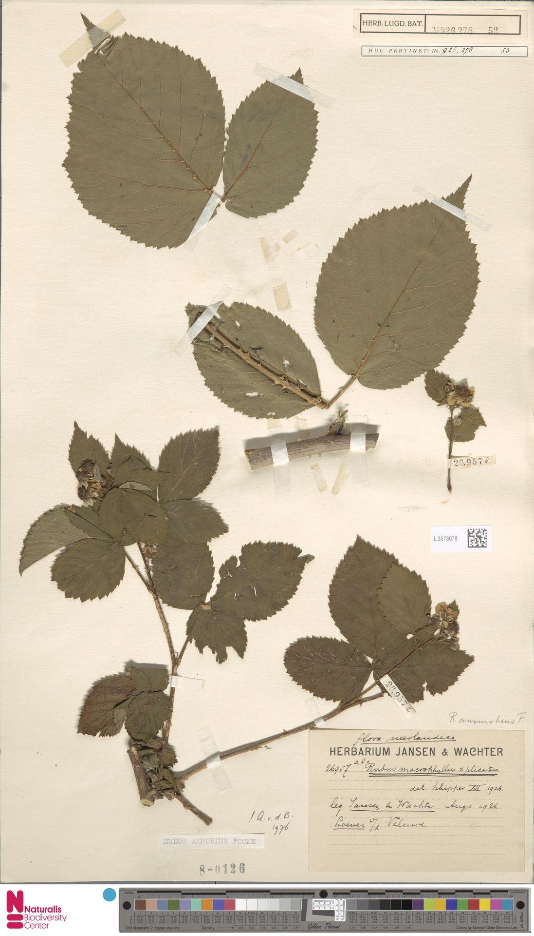 L.3273078 | Rubus ammobius Focke