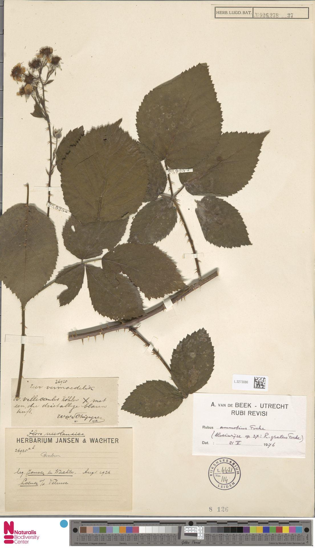 L.3273086 | Rubus ammobius Focke