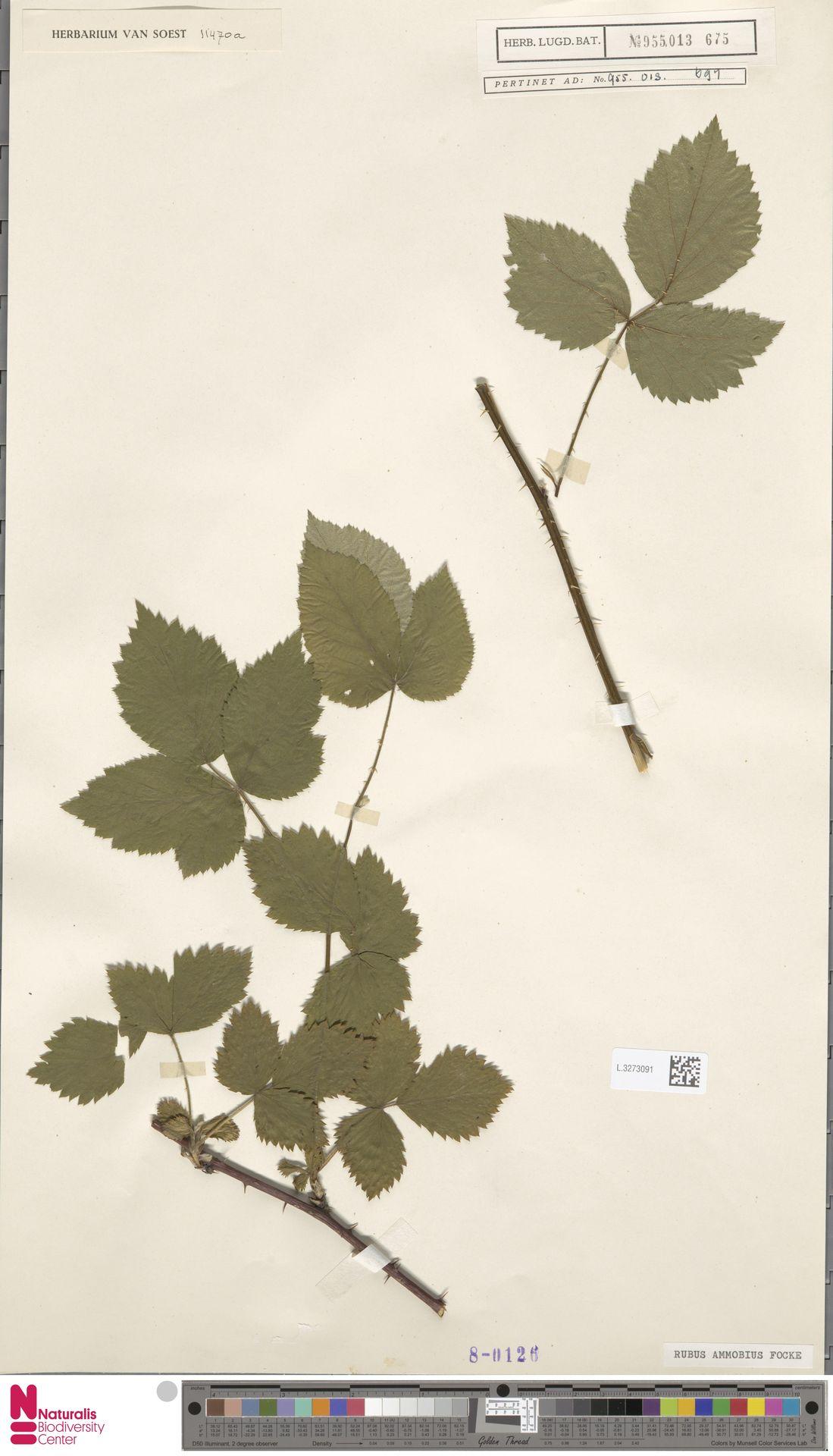 L.3273091 | Rubus ammobius Focke
