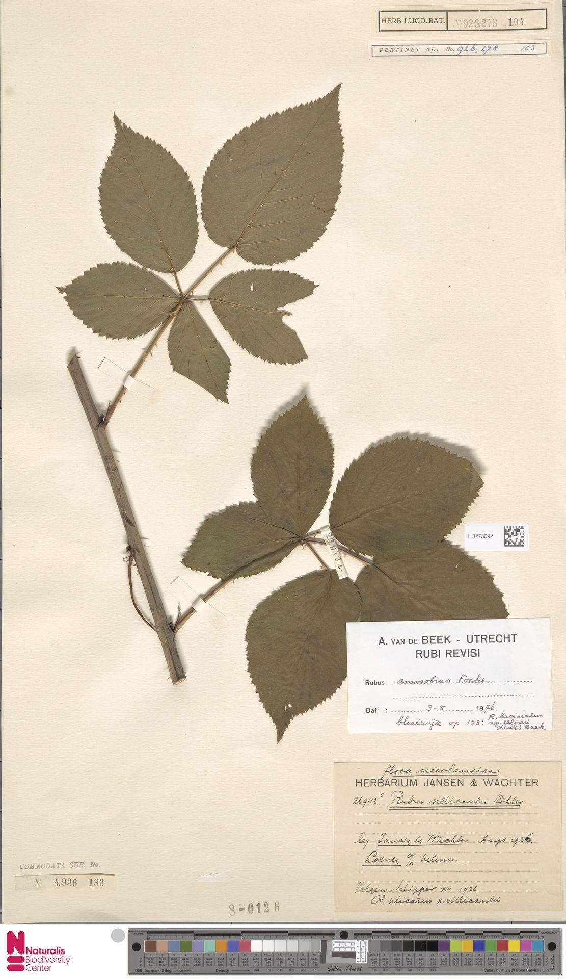 L.3273092 | Rubus ammobius Focke