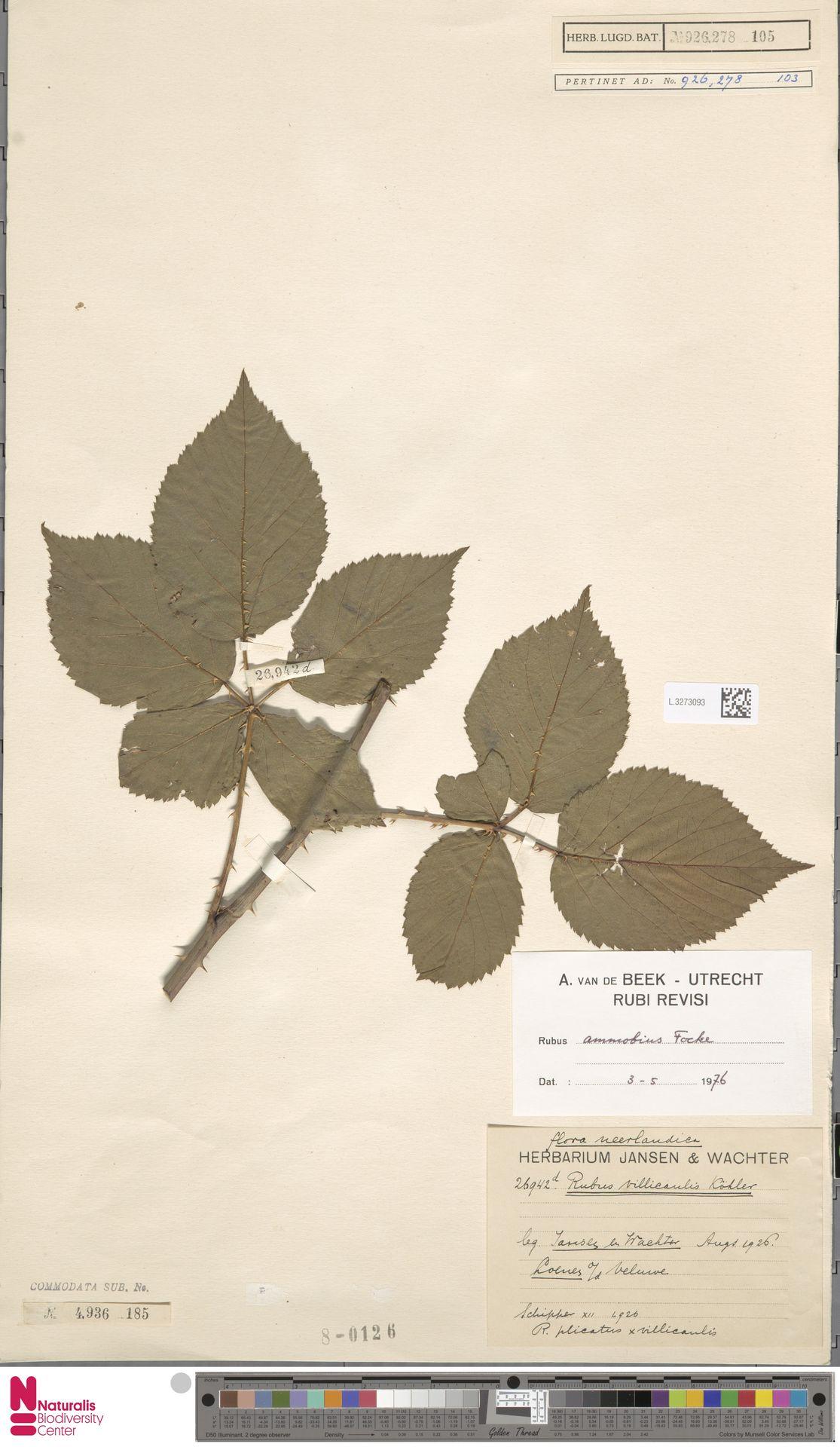 L.3273093 | Rubus ammobius Focke