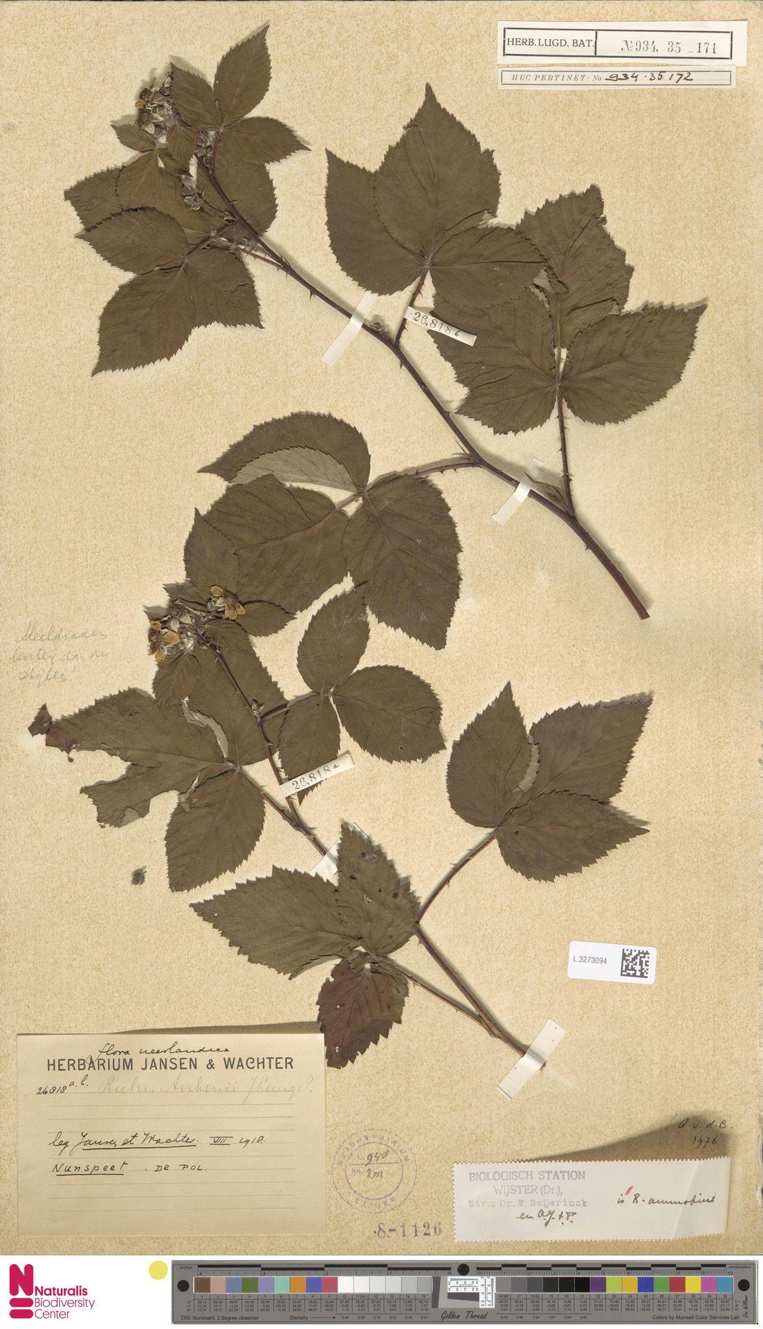 L.3273094 | Rubus ammobius Focke