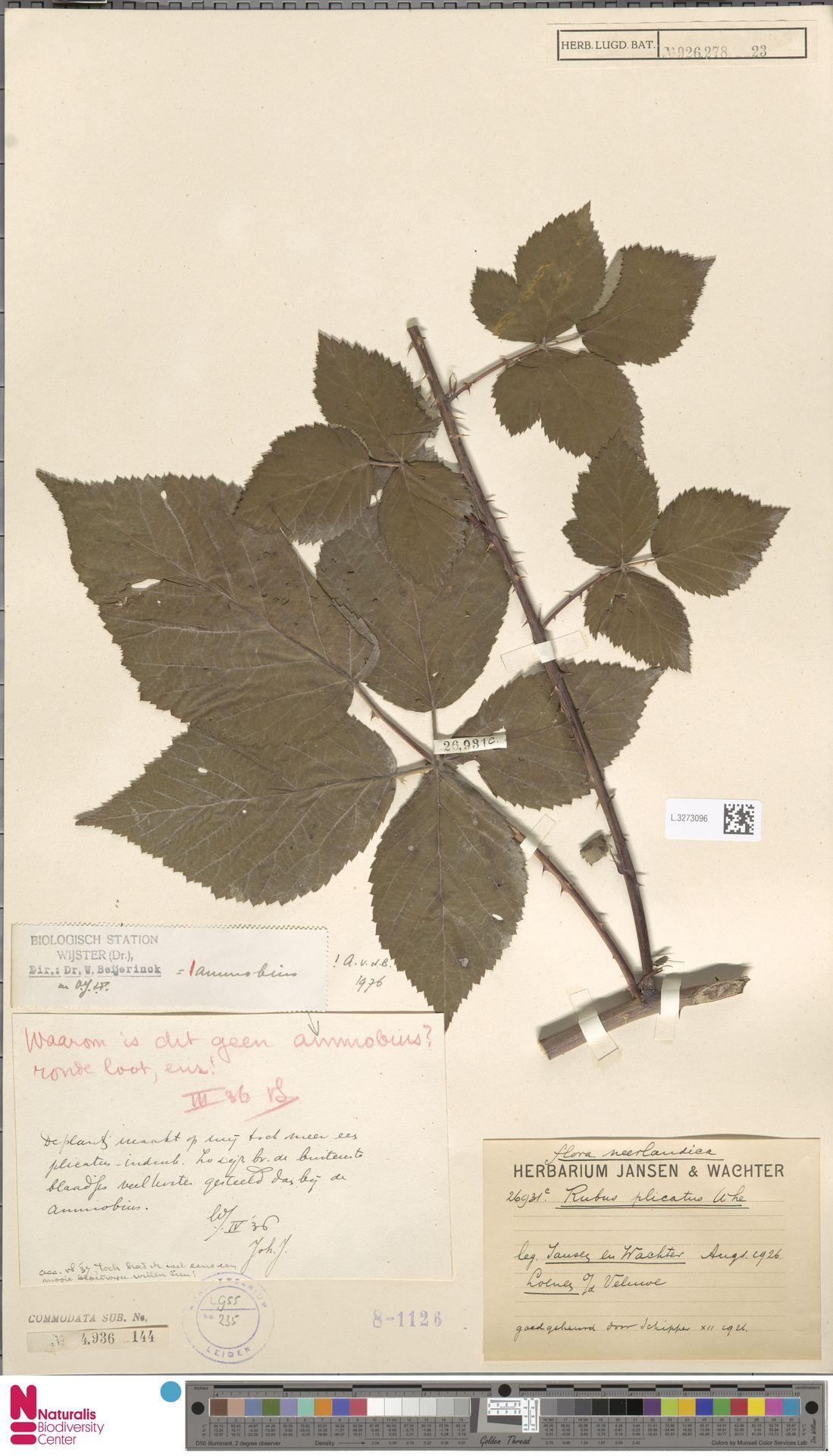 L.3273096   Rubus ammobius Focke