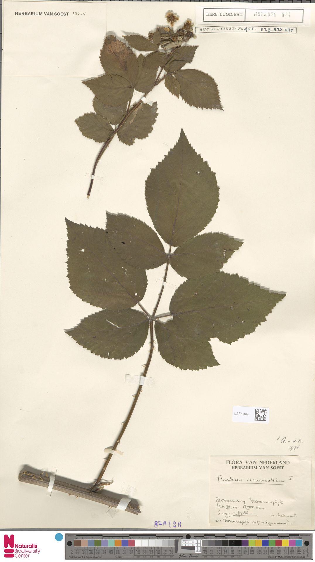 L.3273104   Rubus ammobius Focke