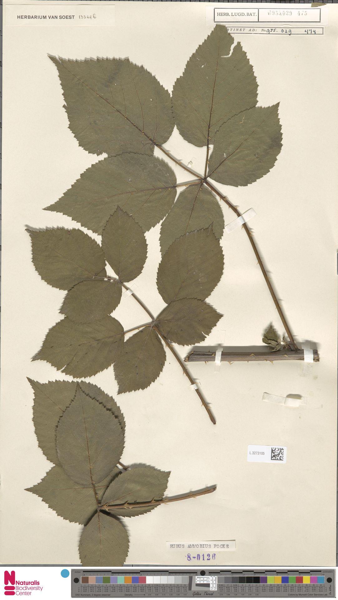L.3273105 | Rubus ammobius Focke