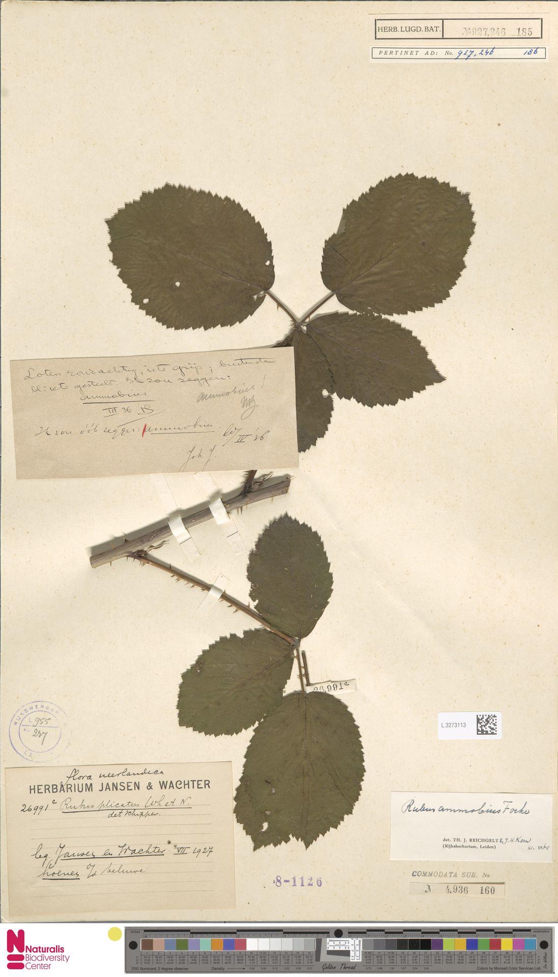 L.3273113 | Rubus ammobius Focke