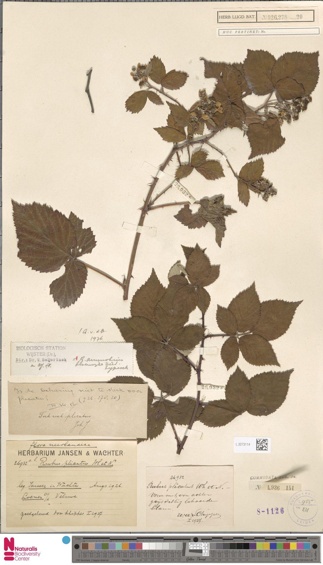 L.3273114   Rubus ammobius Focke