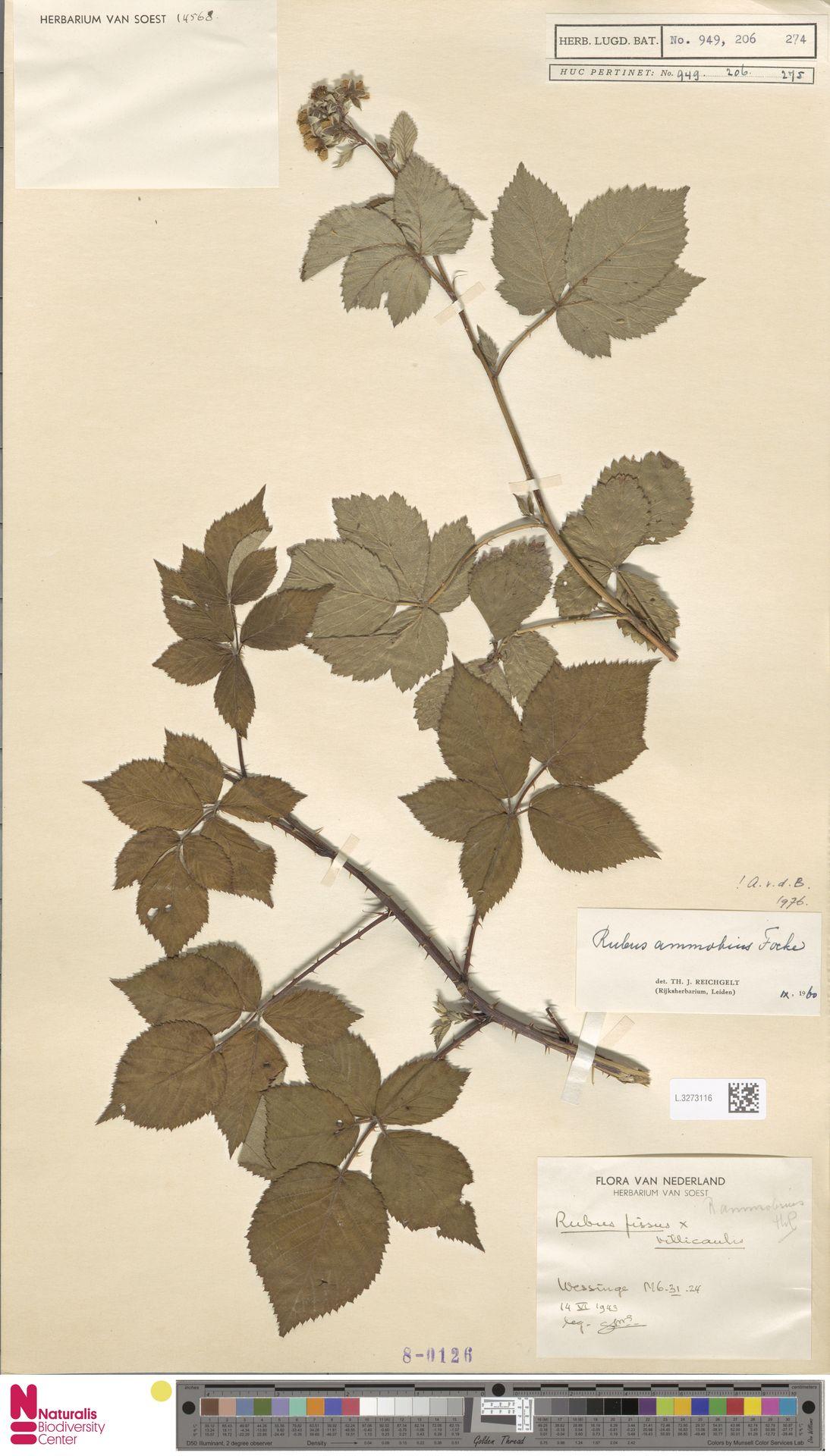 L.3273116   Rubus ammobius Focke