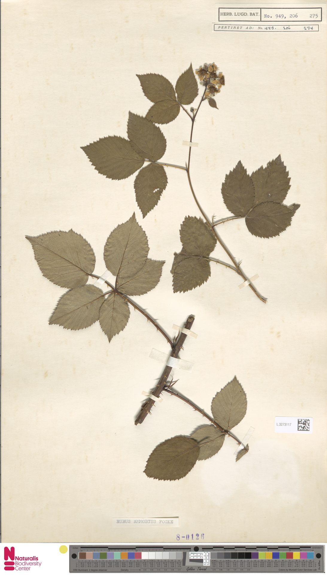 L.3273117 | Rubus ammobius Focke