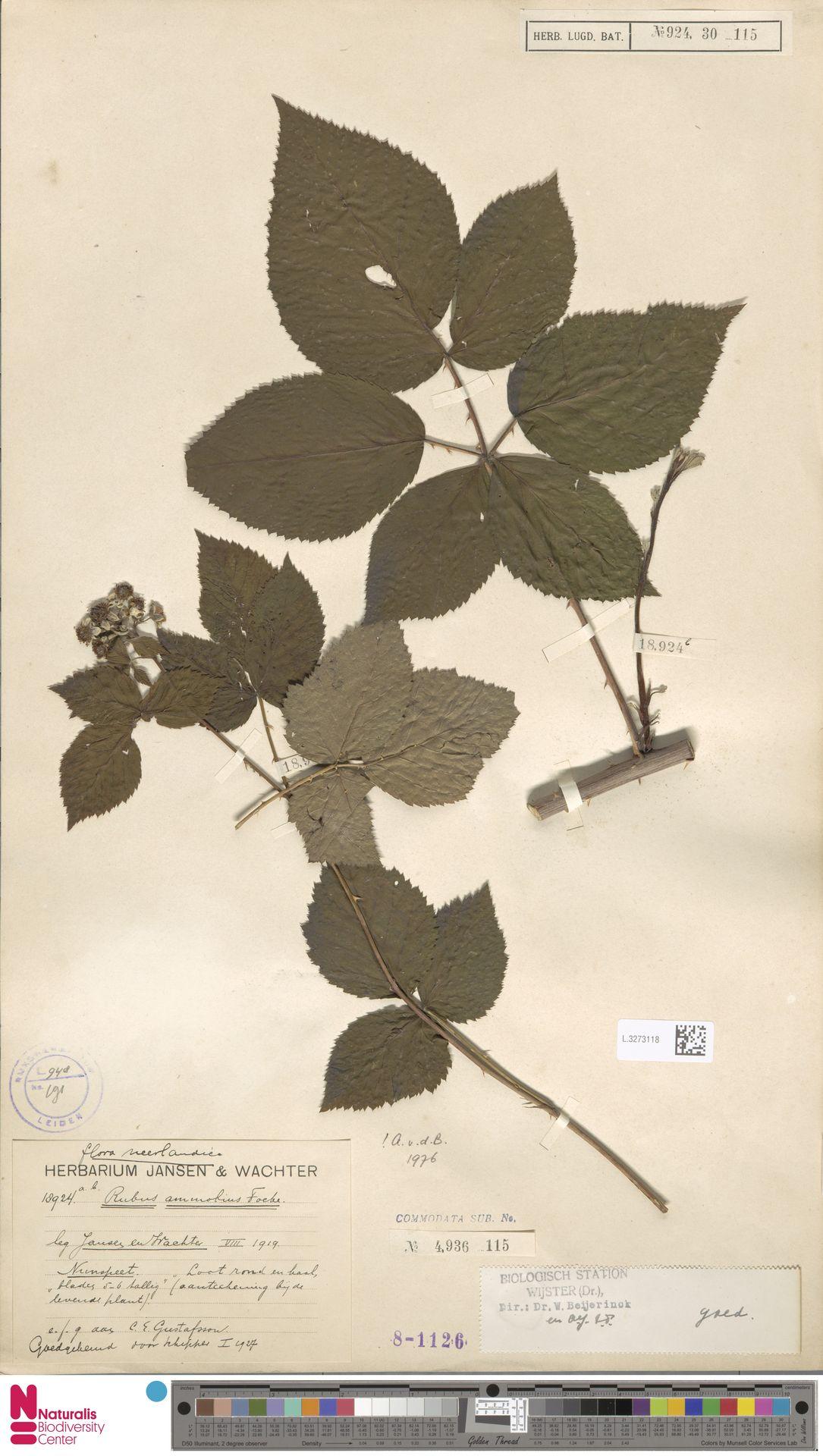 L.3273118 | Rubus ammobius Focke