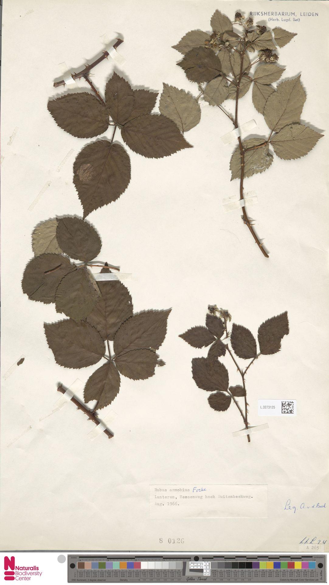 L.3273125   Rubus ammobius Focke