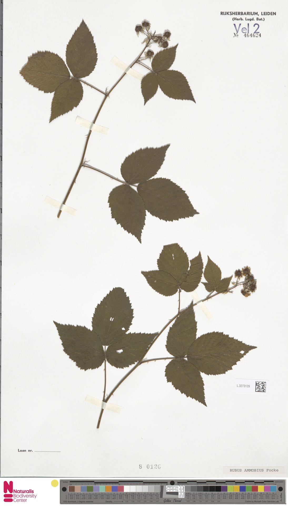 L.3273129   Rubus ammobius Focke