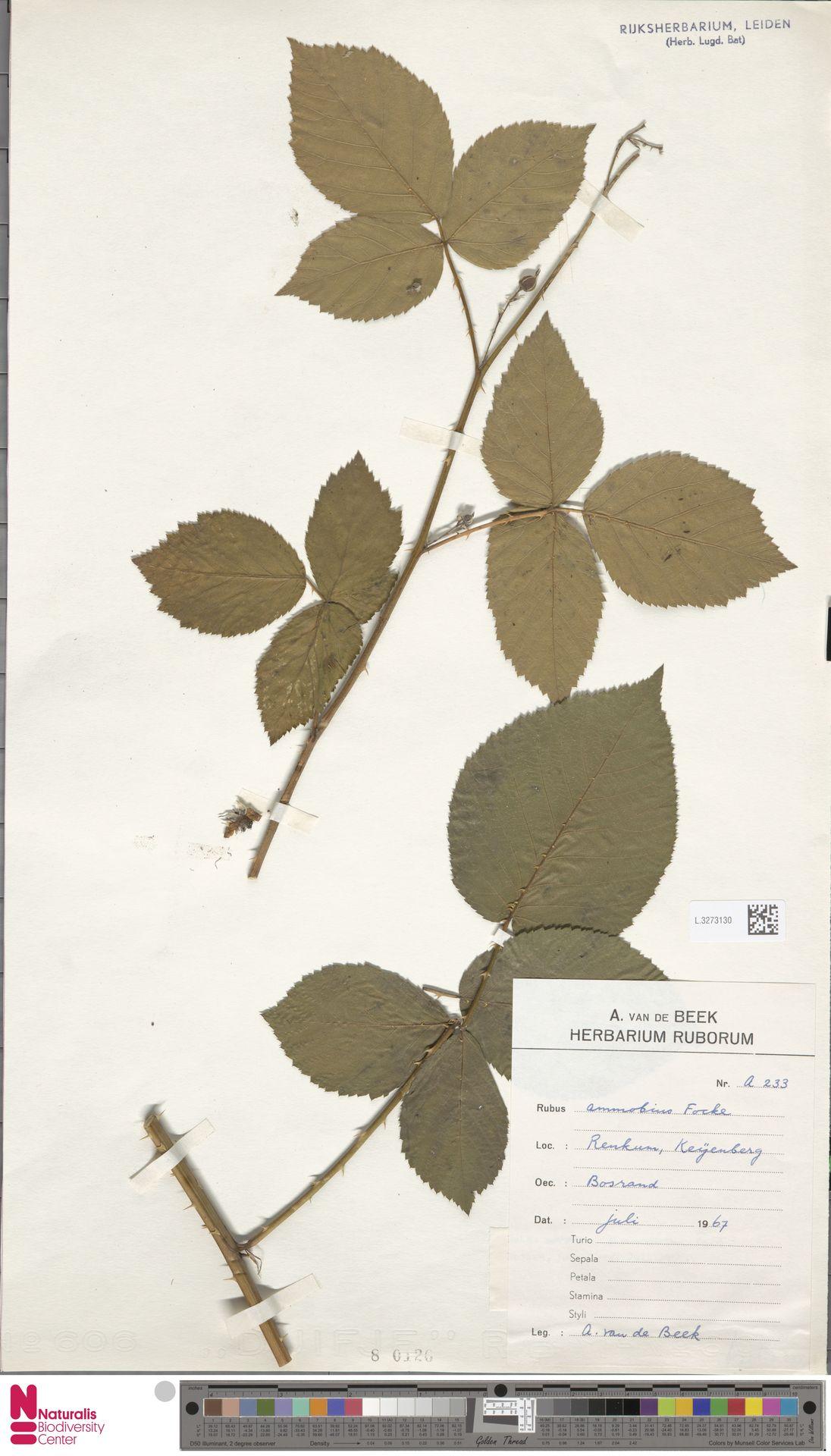 L.3273130 | Rubus ammobius Focke