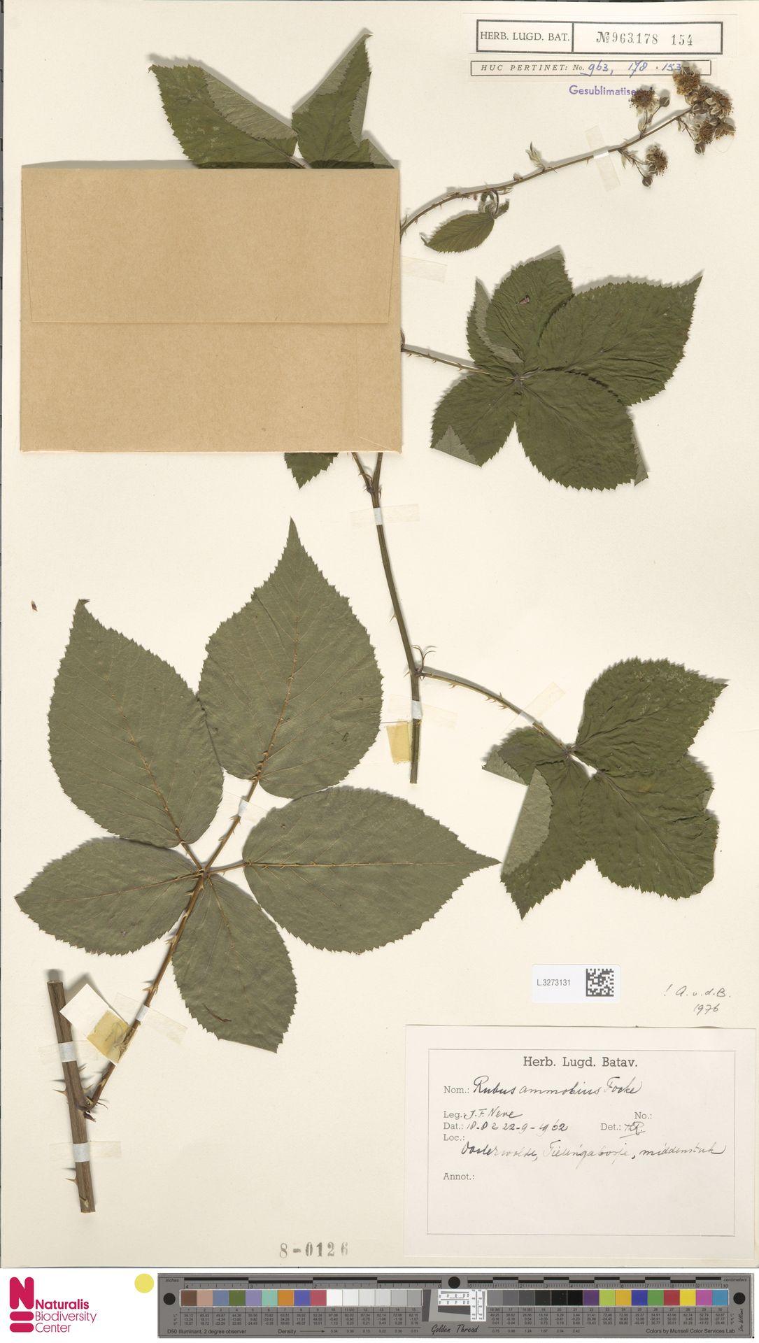 L.3273131 | Rubus ammobius Focke