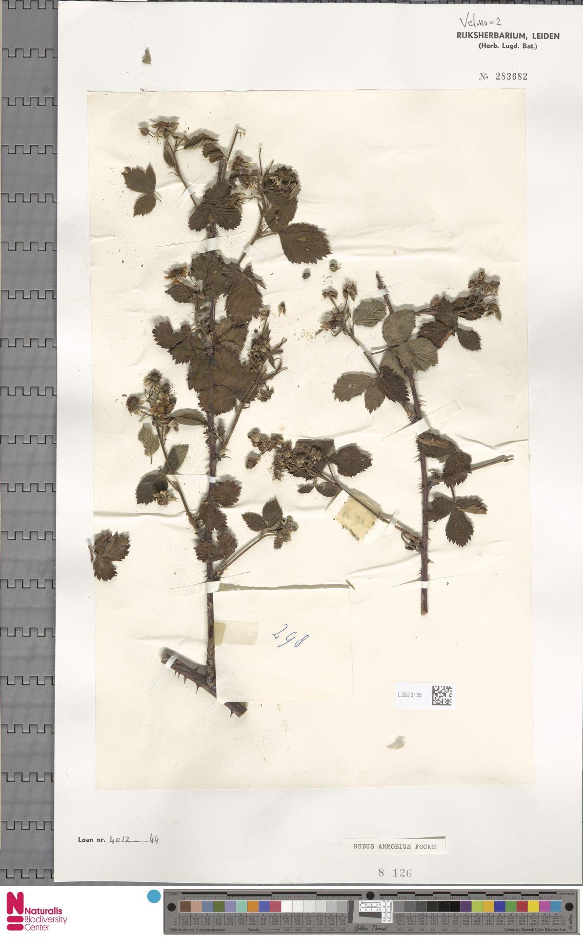 L.3273135   Rubus ammobius Focke