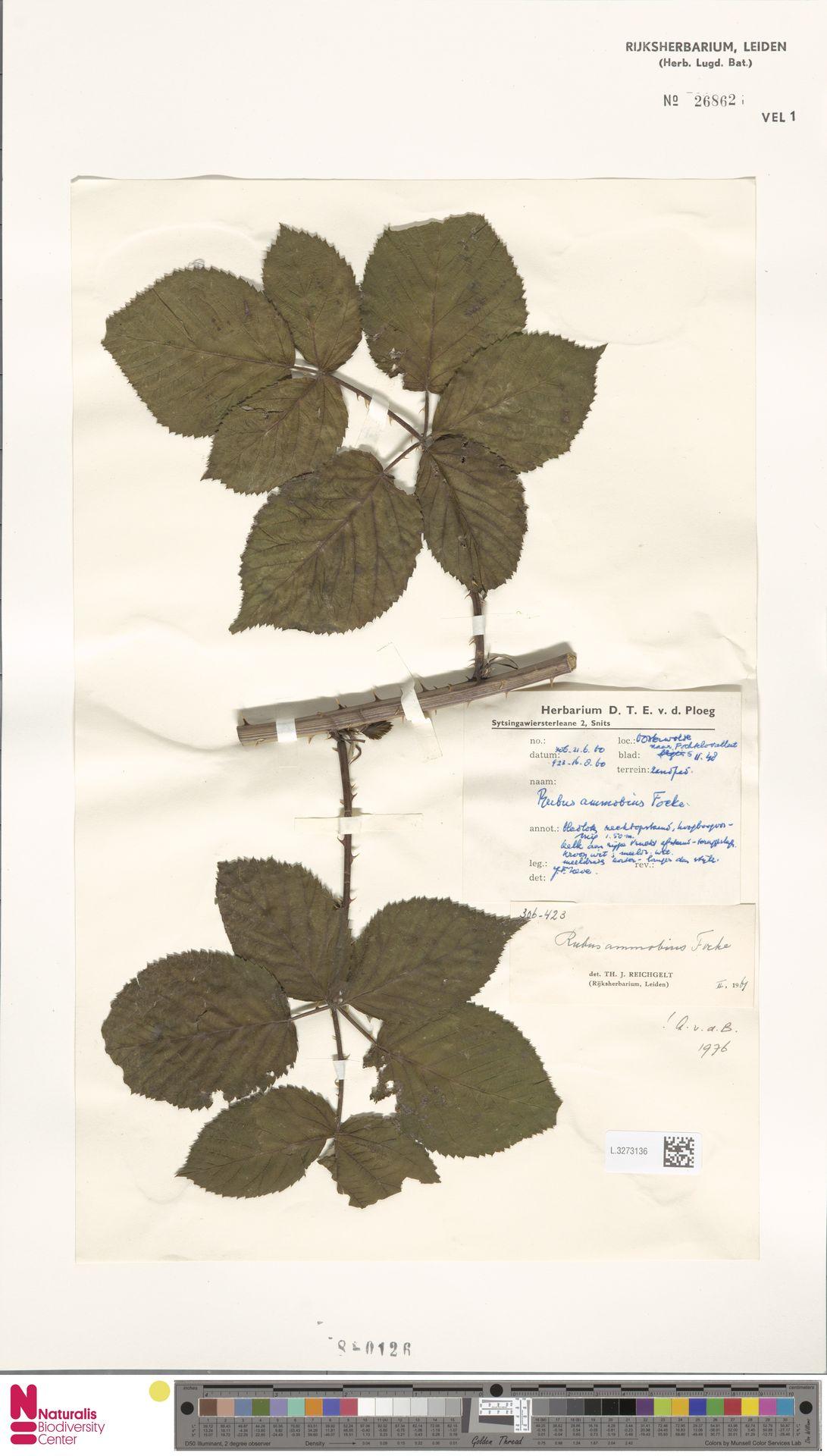 L.3273136 | Rubus ammobius Focke