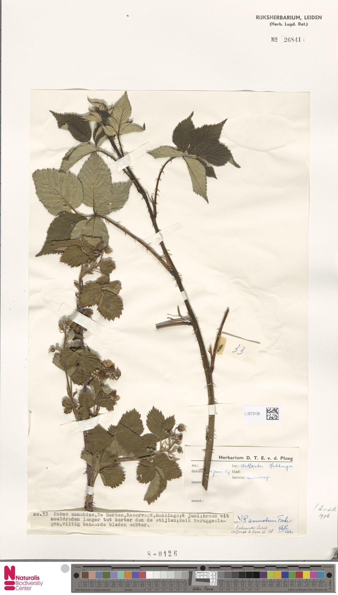 L.3273139   Rubus ammobius Focke