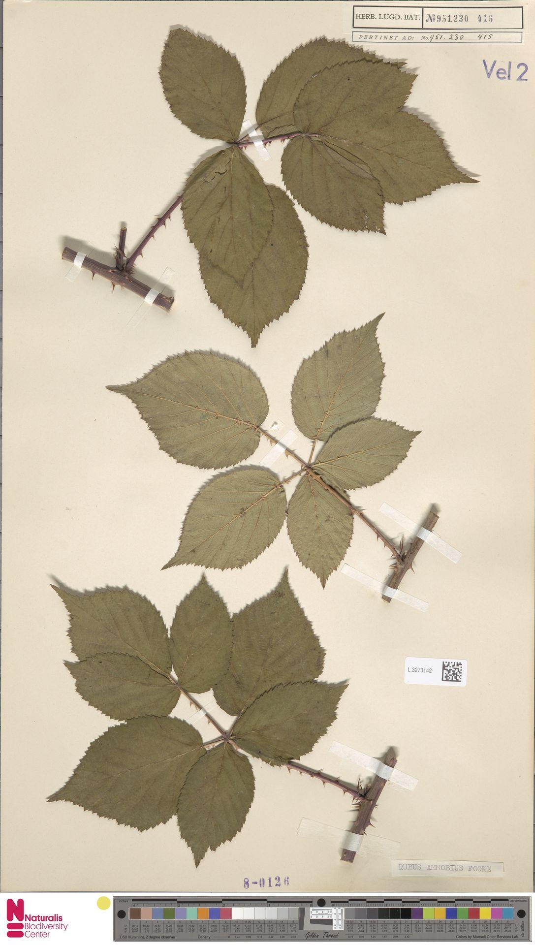 L.3273142 | Rubus ammobius Focke