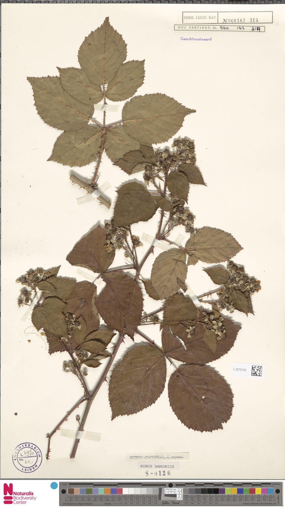 L.3273145   Rubus ammobius Focke