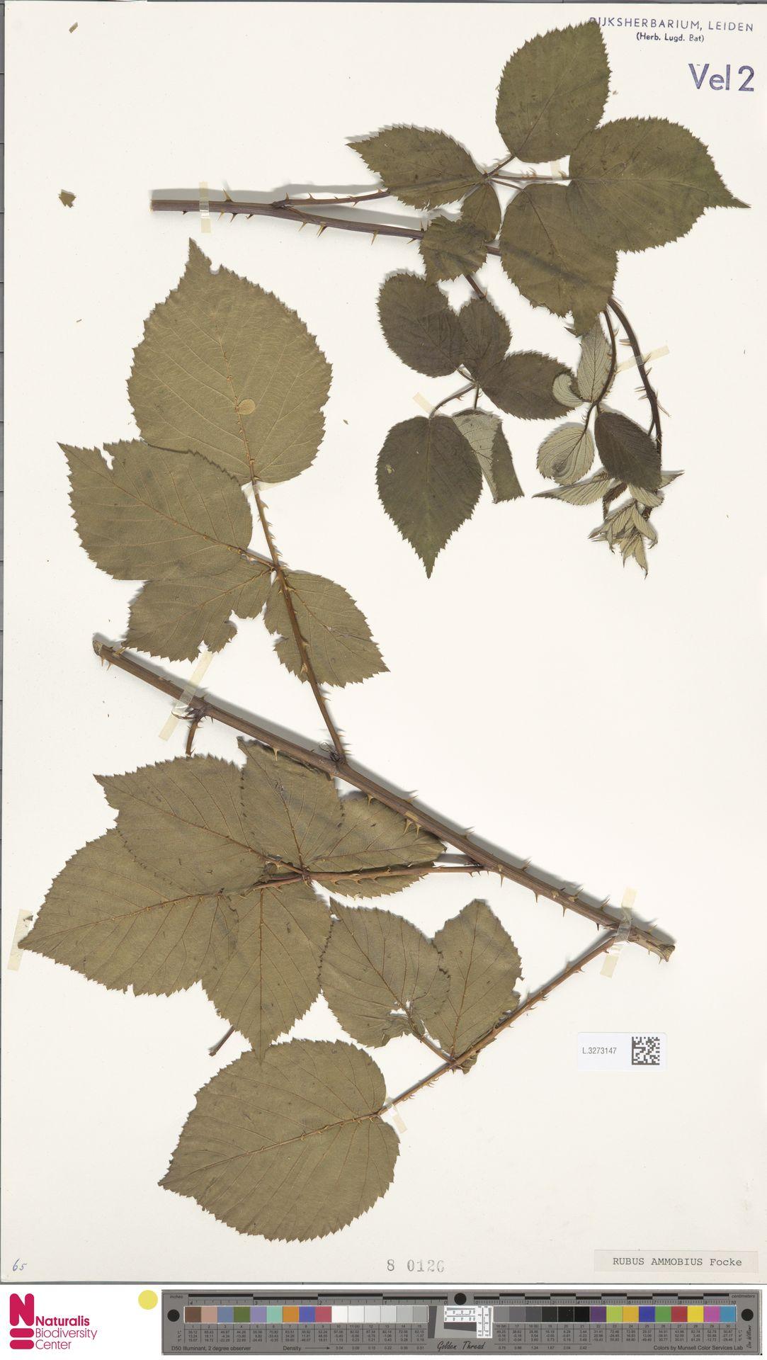 L.3273147   Rubus ammobius Focke
