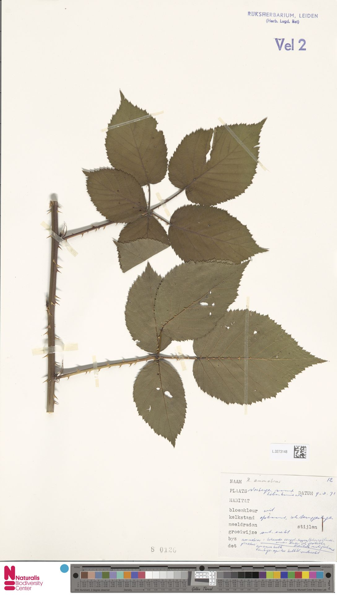 L.3273148 | Rubus ammobius Focke