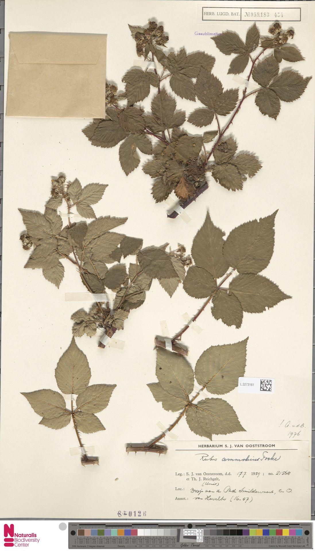 L.3273161 | Rubus ammobius Focke