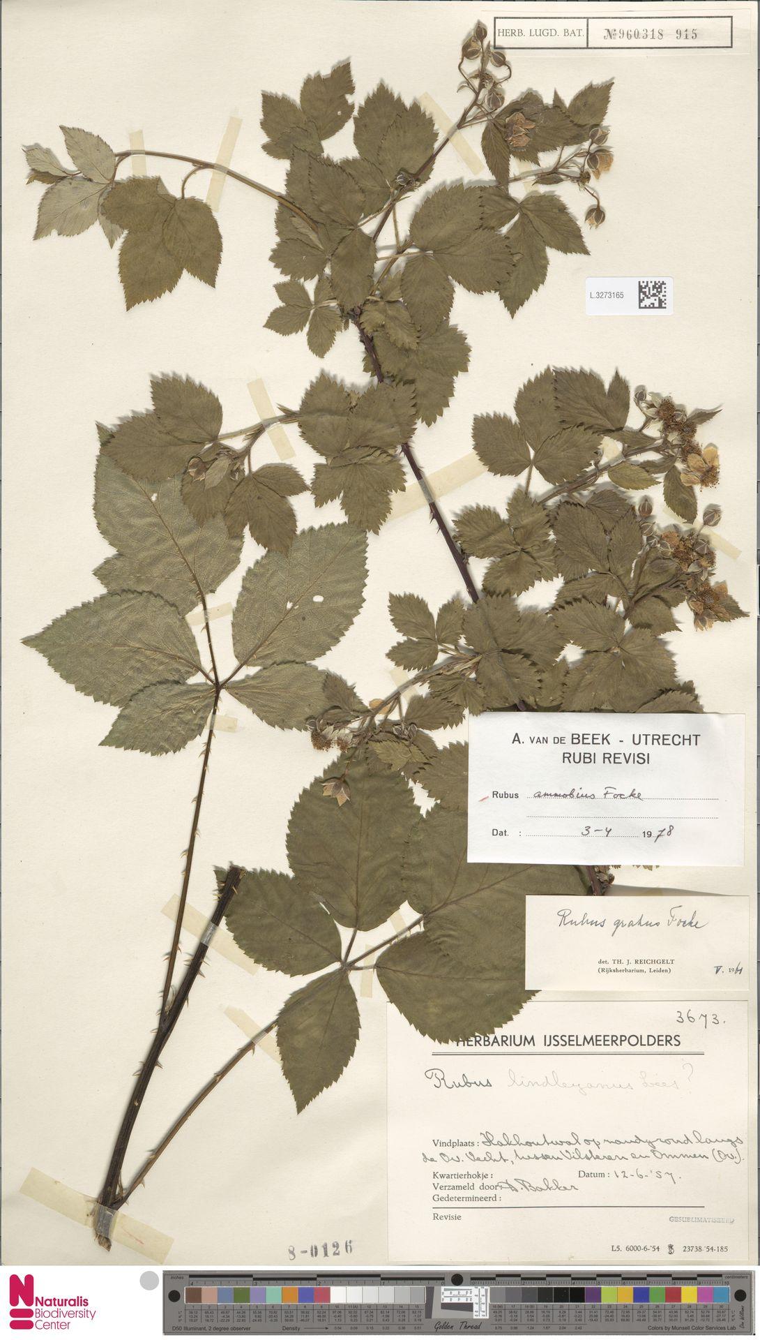 L.3273165 | Rubus ammobius Focke