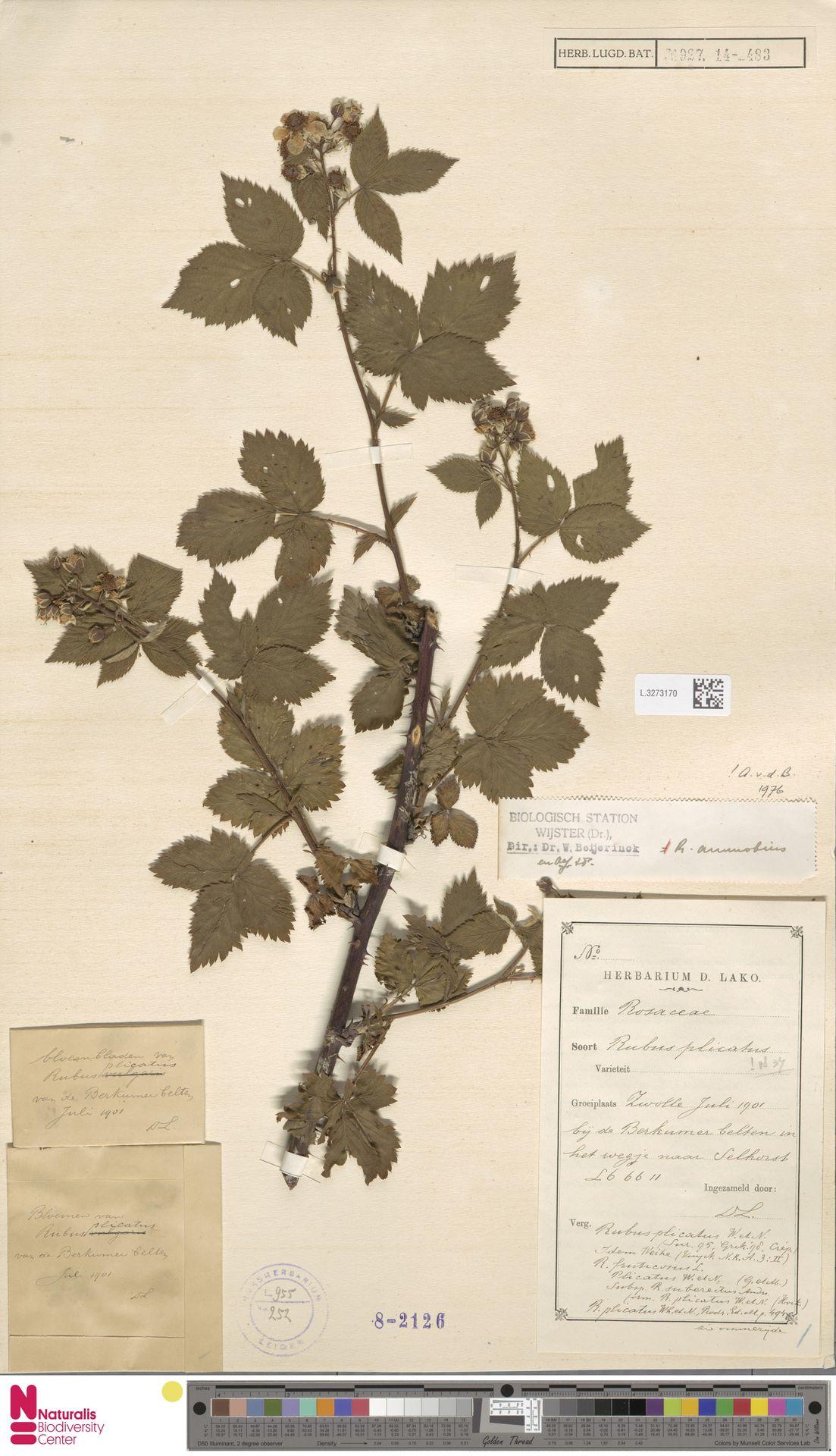 L.3273170 | Rubus ammobius Focke