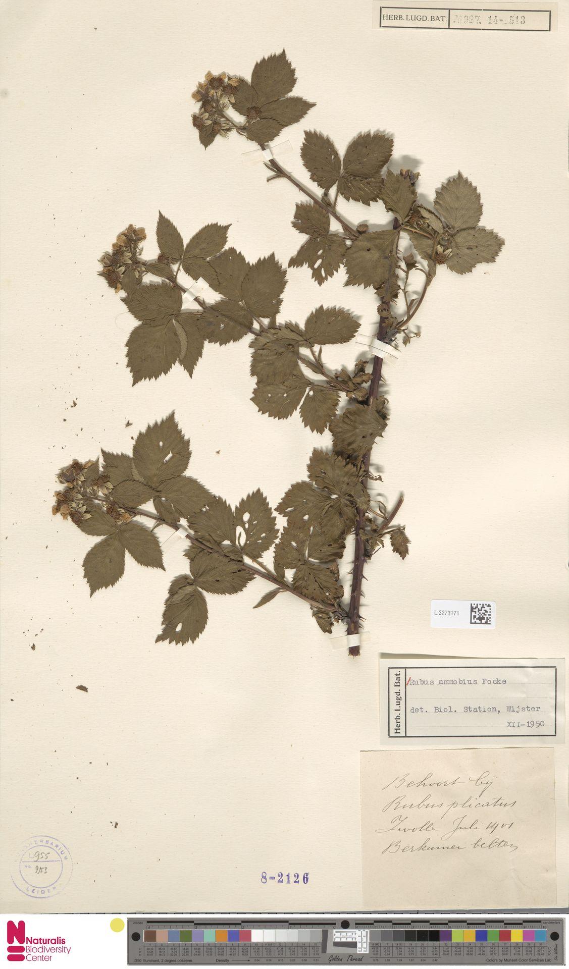 L.3273171 | Rubus ammobius Focke