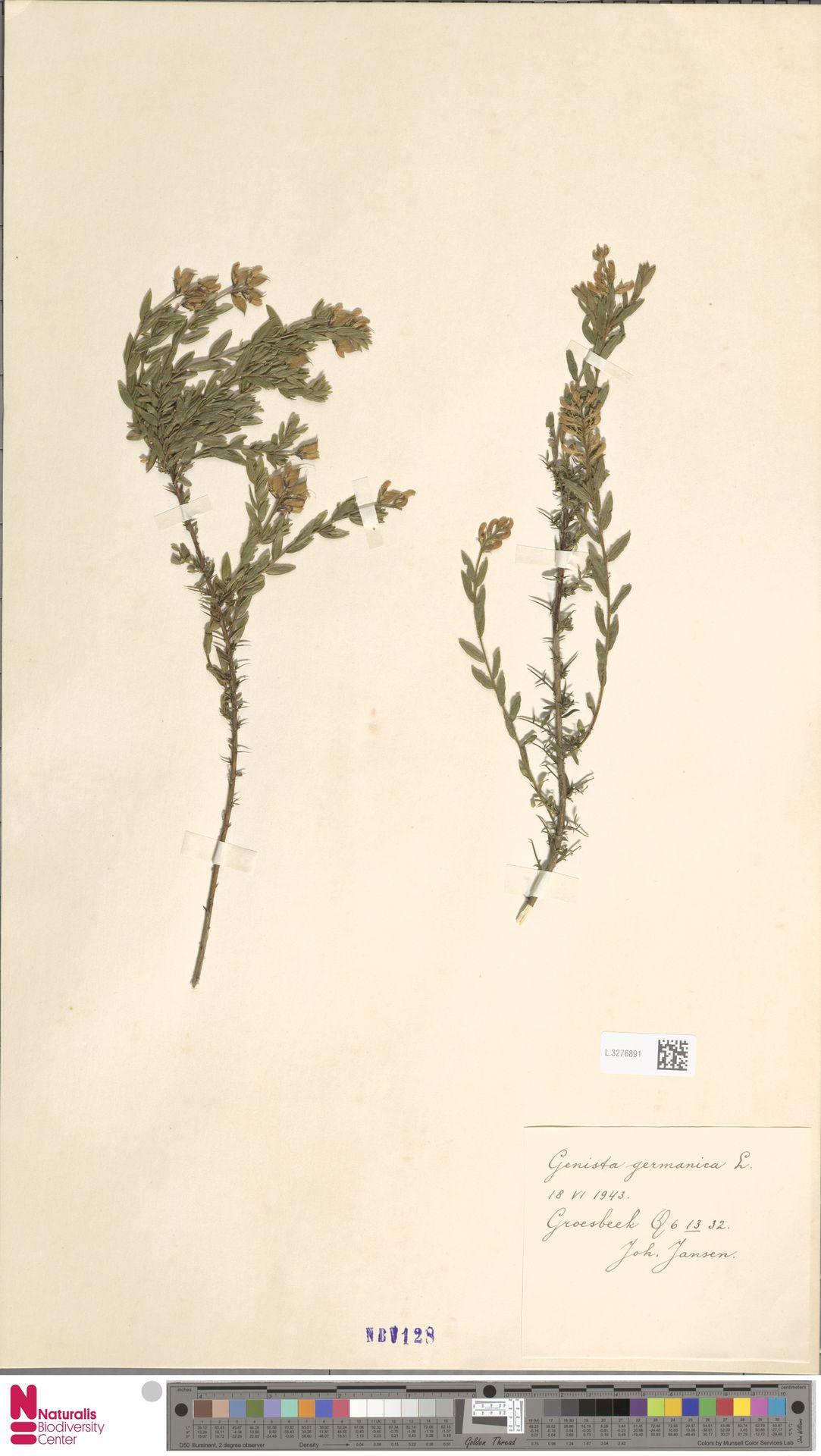 L.3276891 | Genista germanica L.