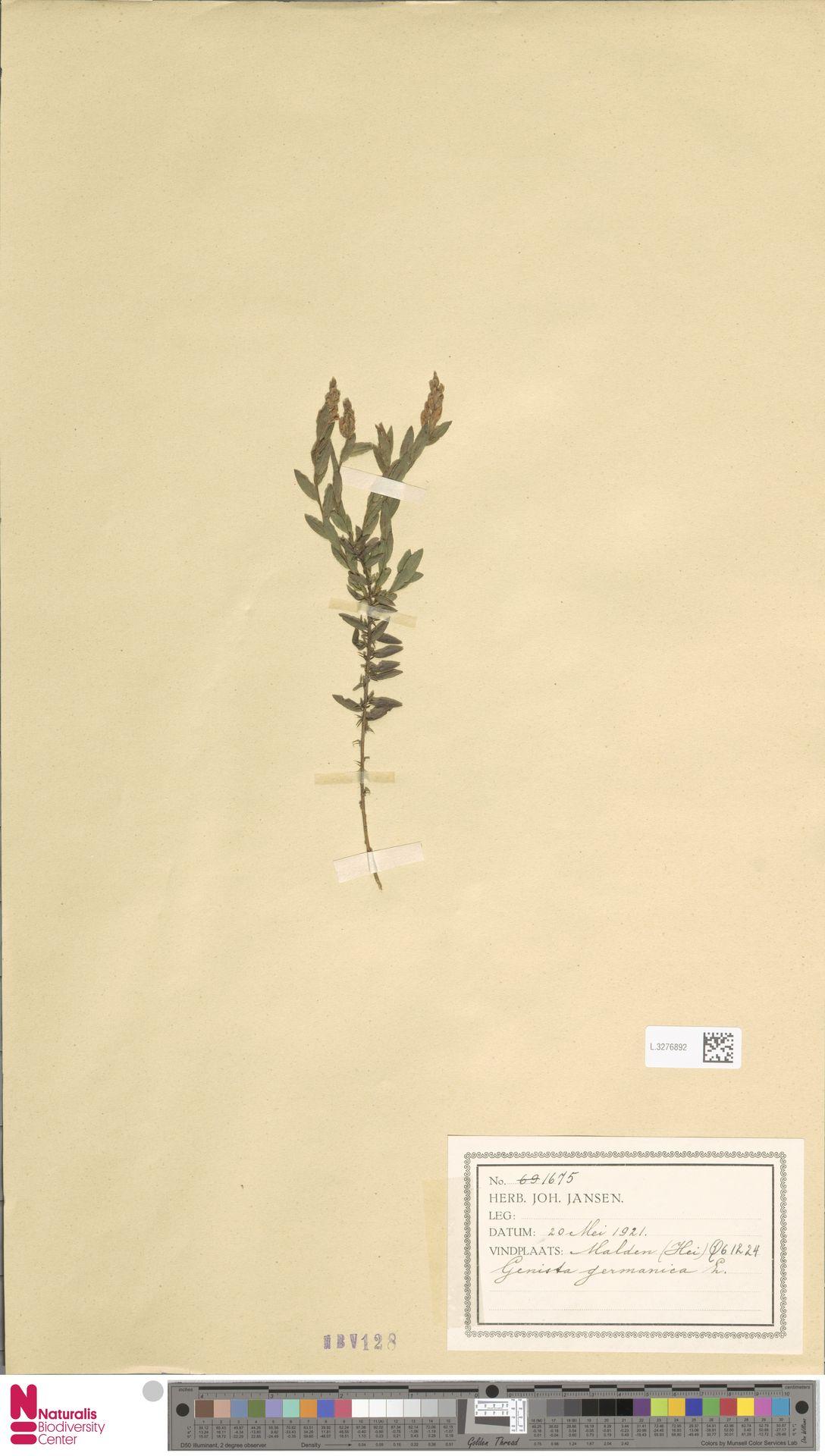 L.3276892 | Genista germanica L.