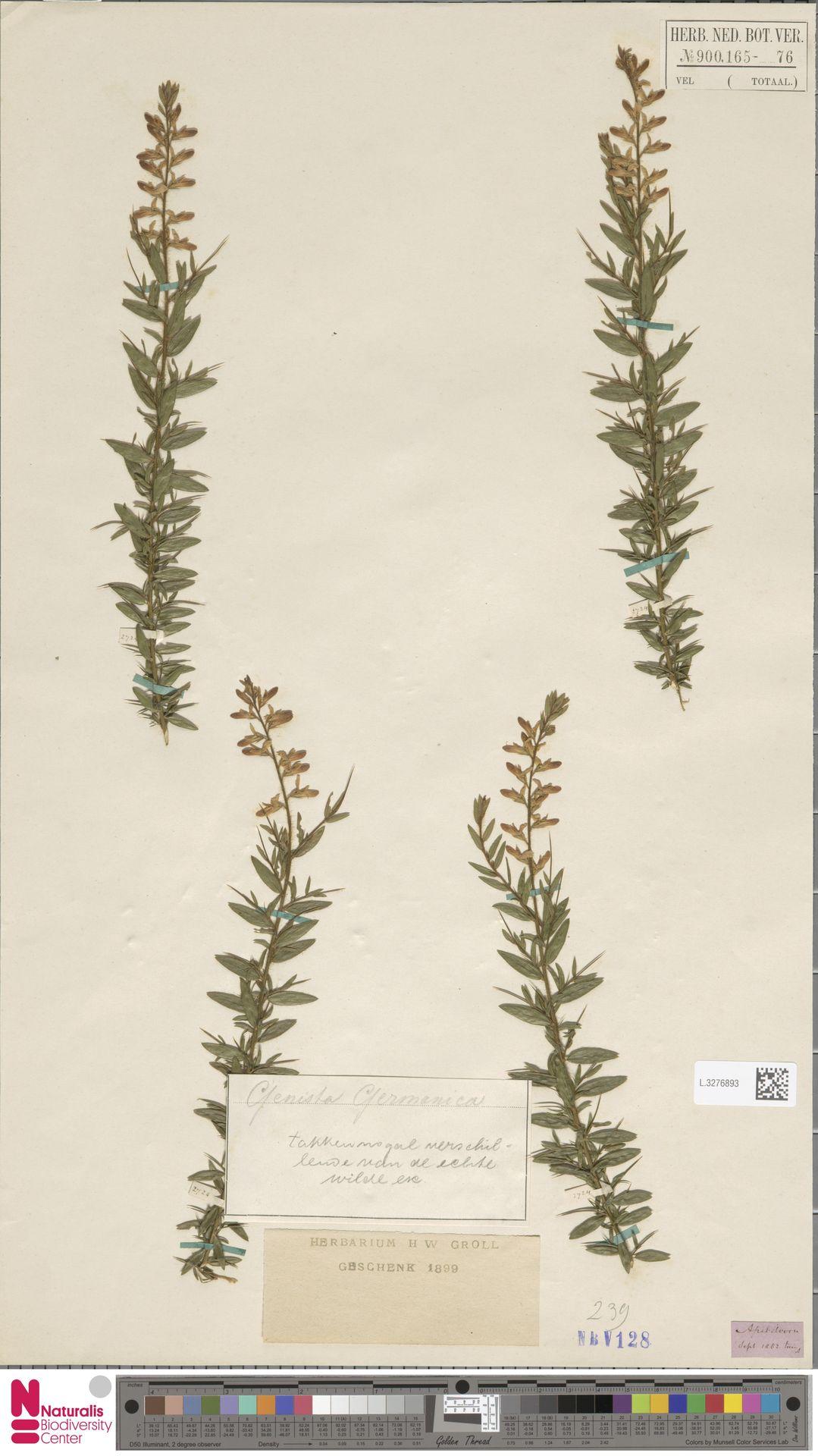 L.3276893 | Genista germanica L.