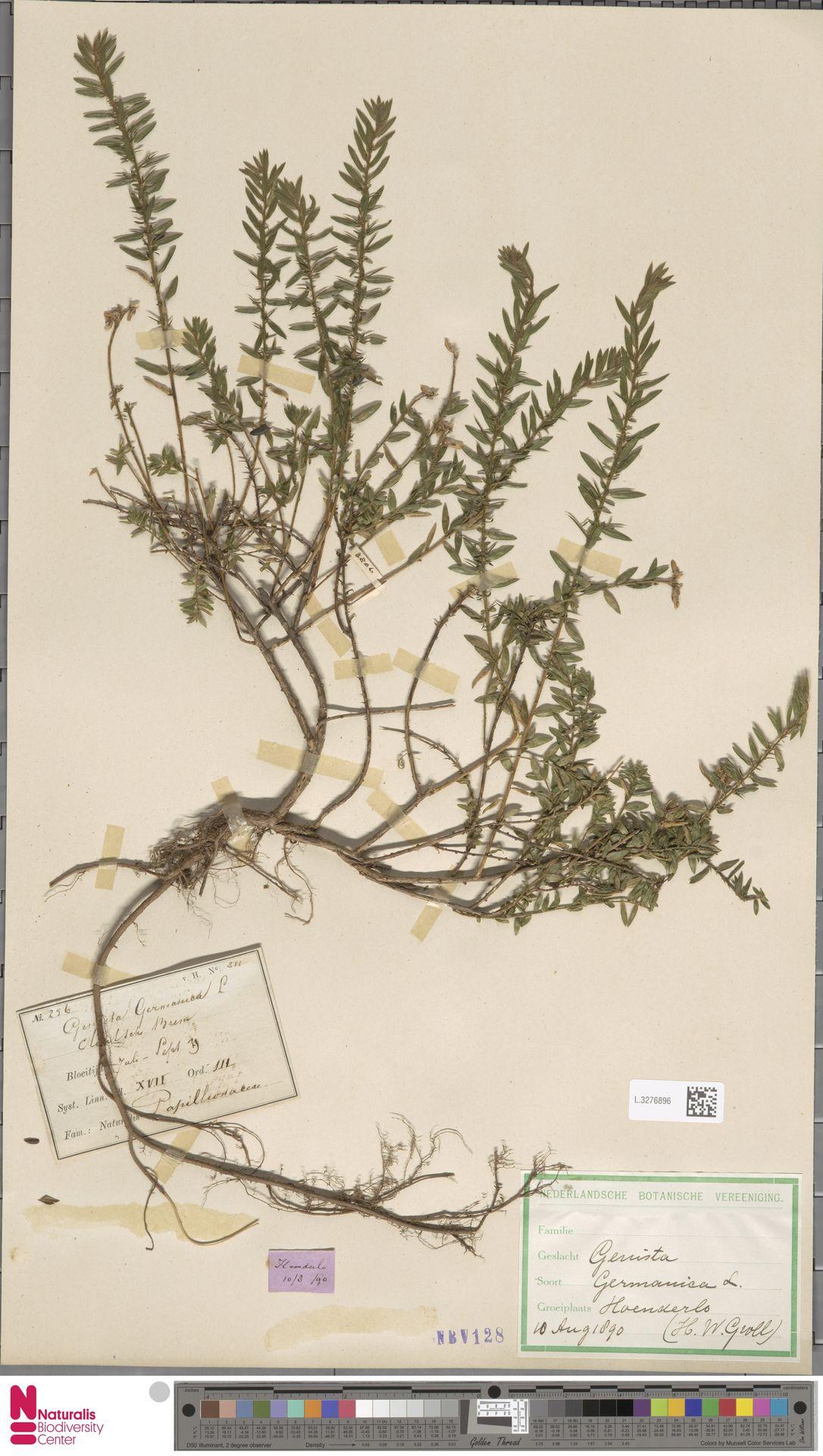 L.3276896   Genista germanica L.